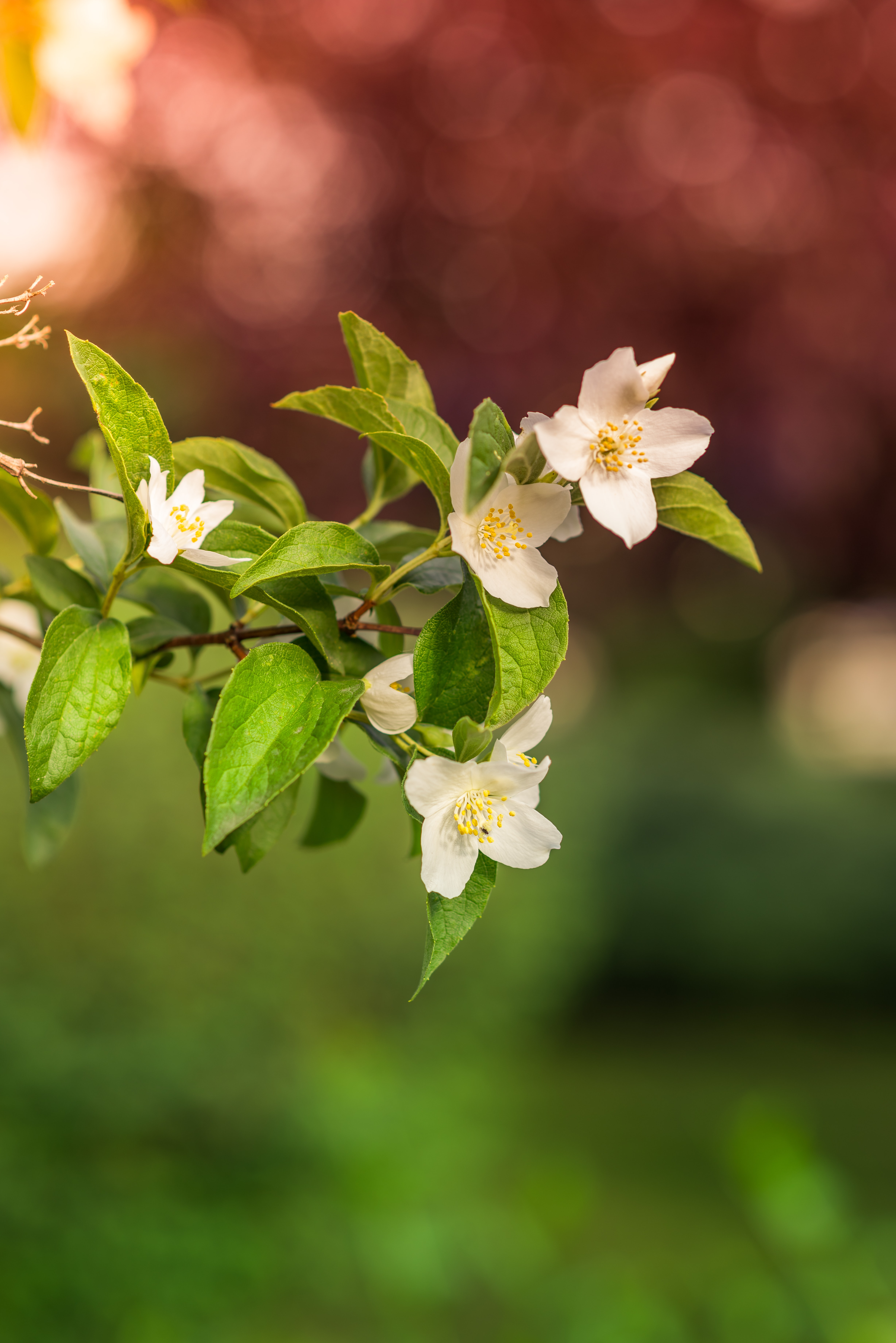 White blossom on a branch with bokeh effect in the red and green background