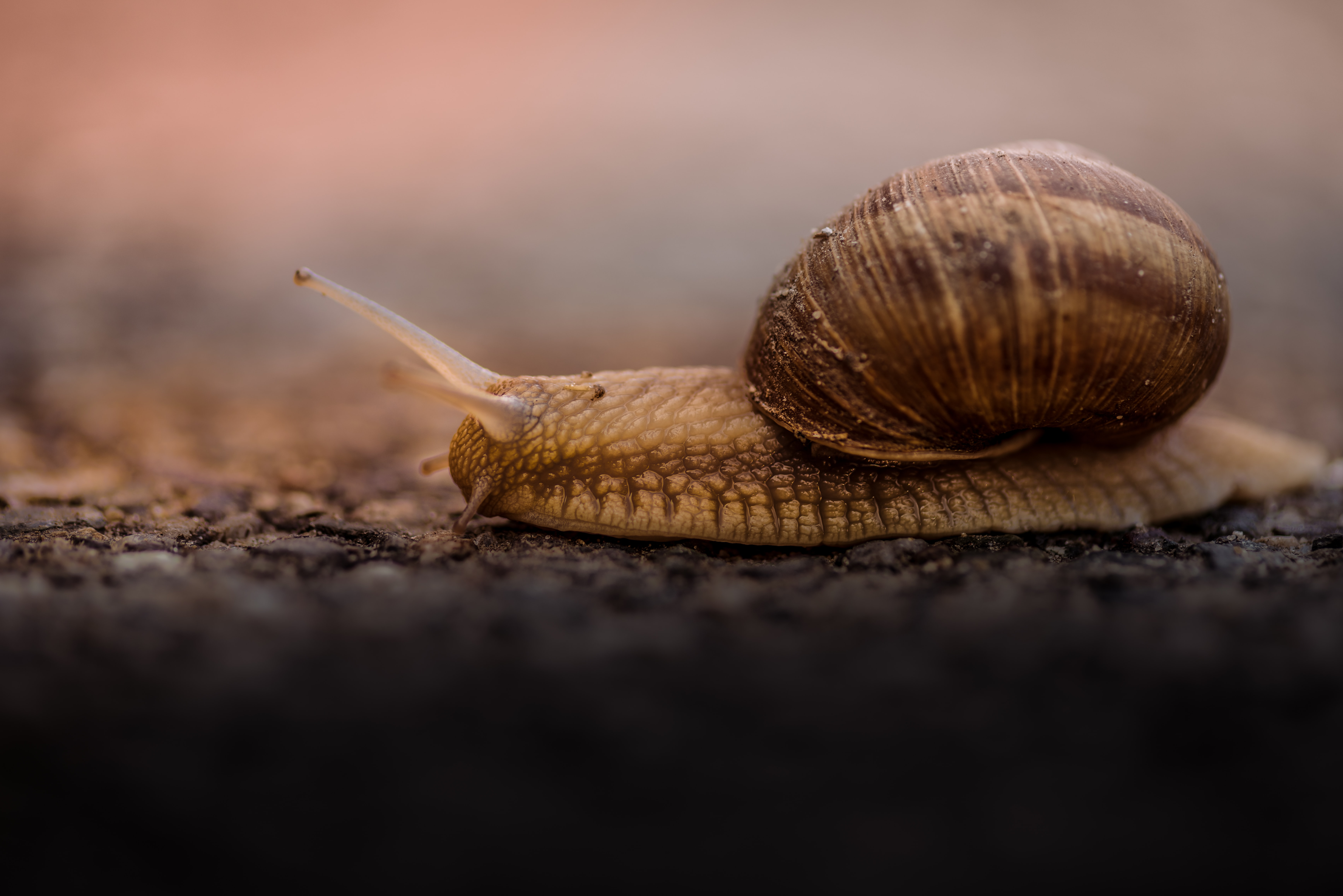 Brown snail in its shell slowly inches across the asphalt
