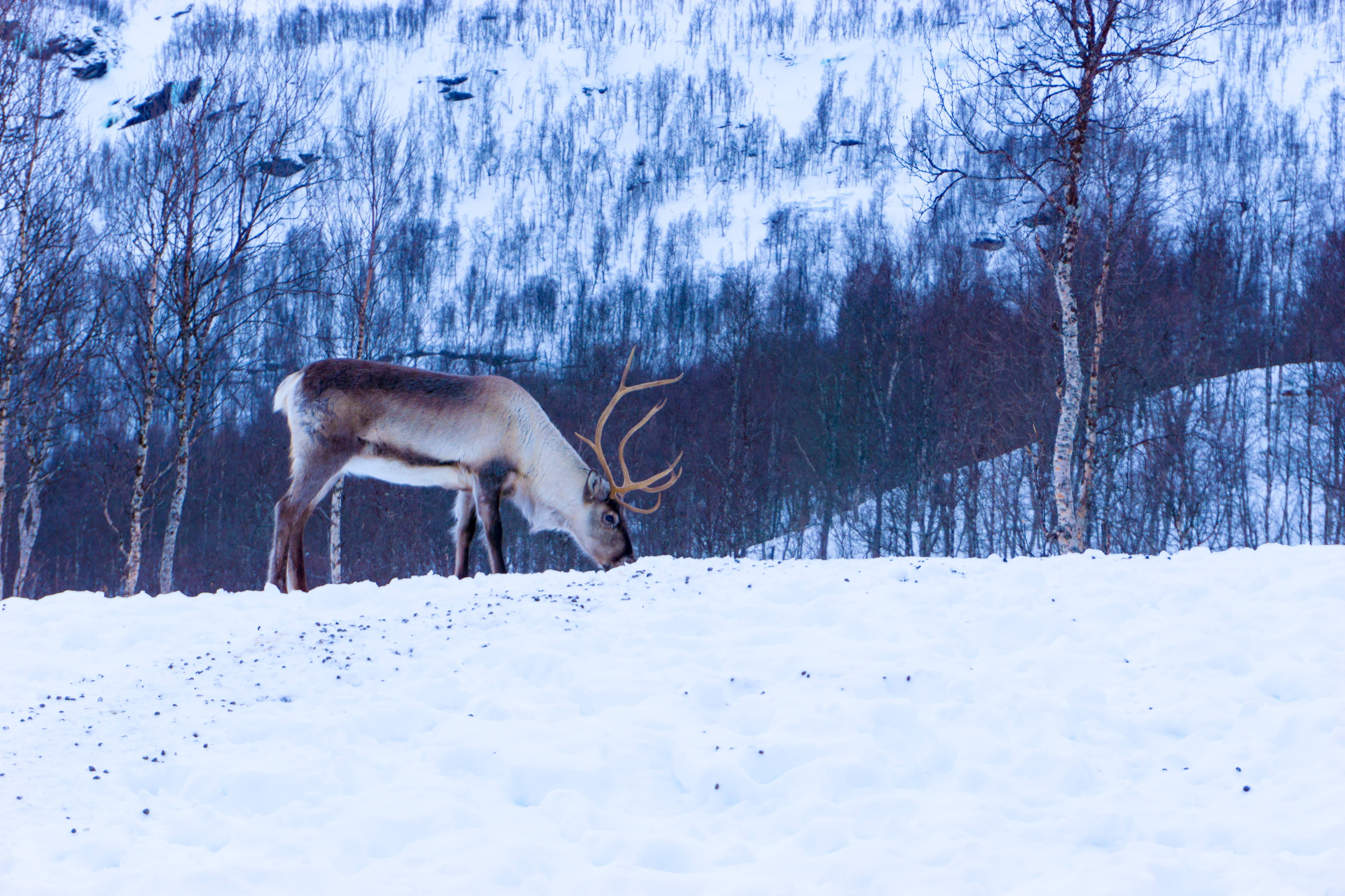 A deer with his head down in the snow at Polar Park in Norway