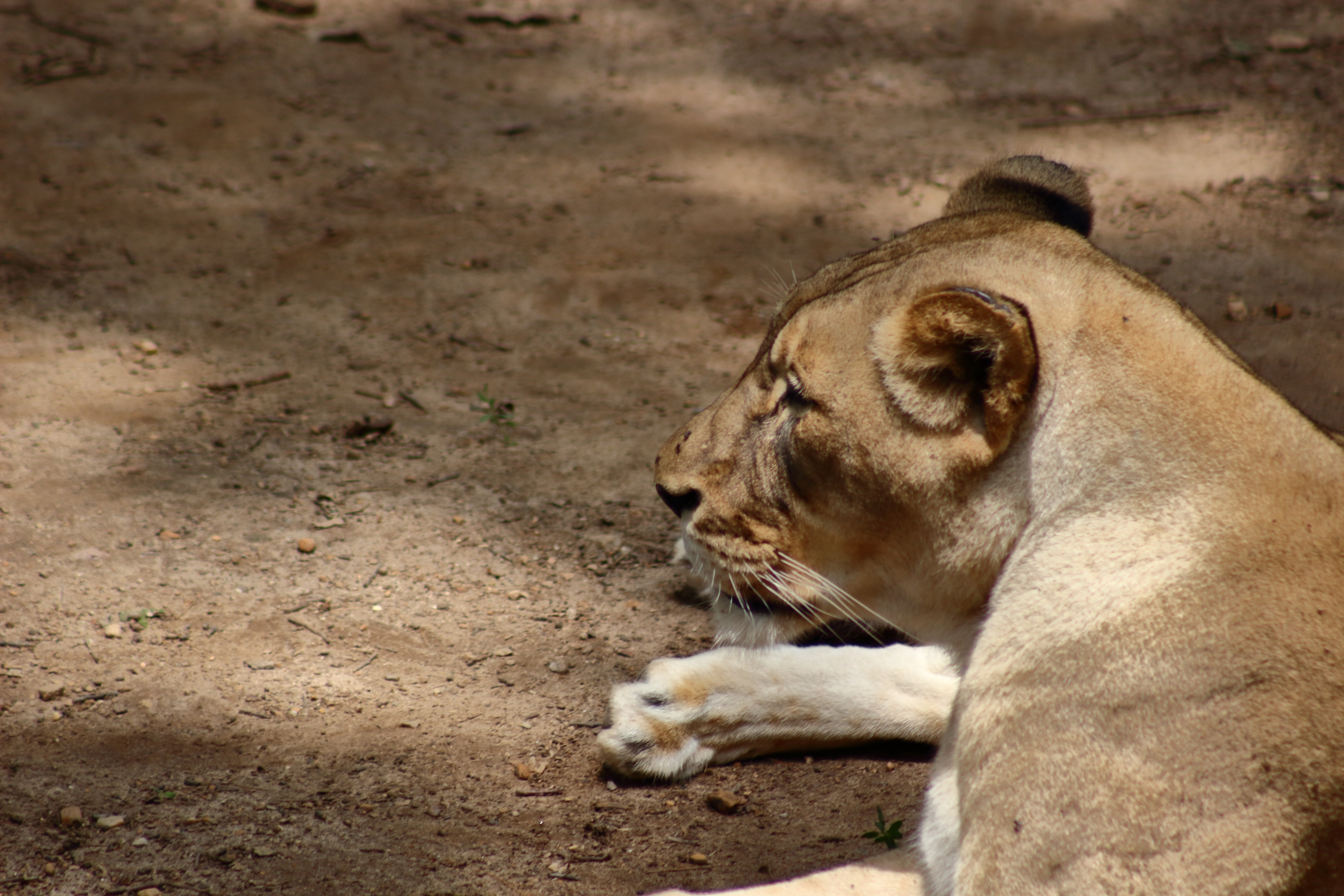 Profile shot of lioness sitting down relaxing on dusty ground