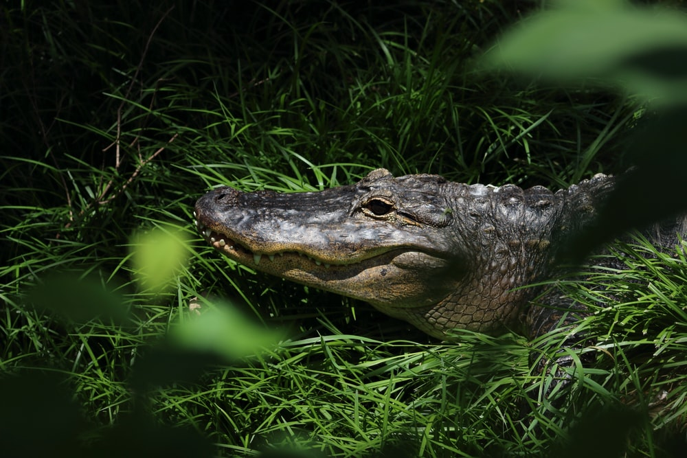 crocodile lying on grass
