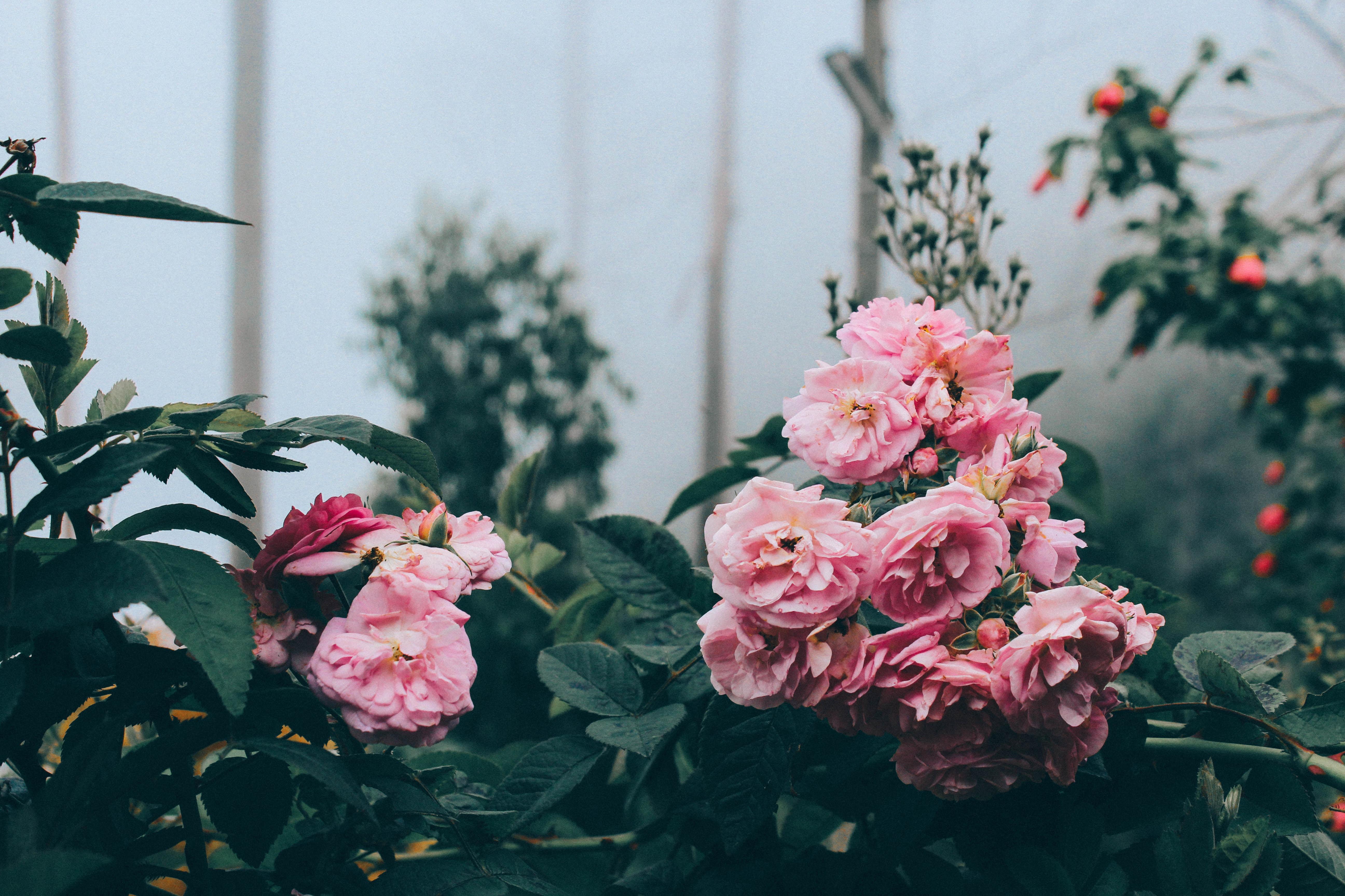Pink peonies in a misty garden