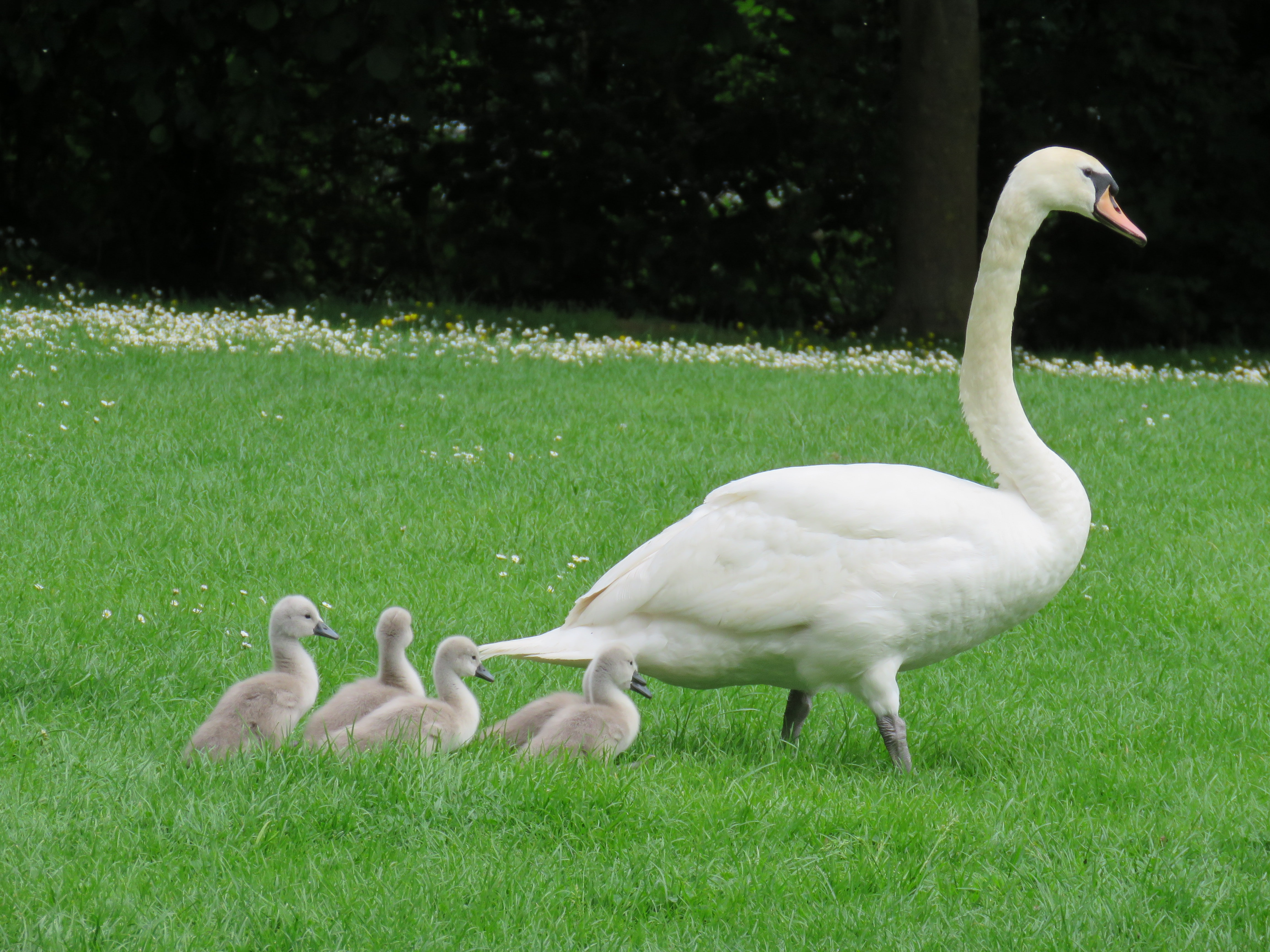 Downy swan babies follow their mother through the grass