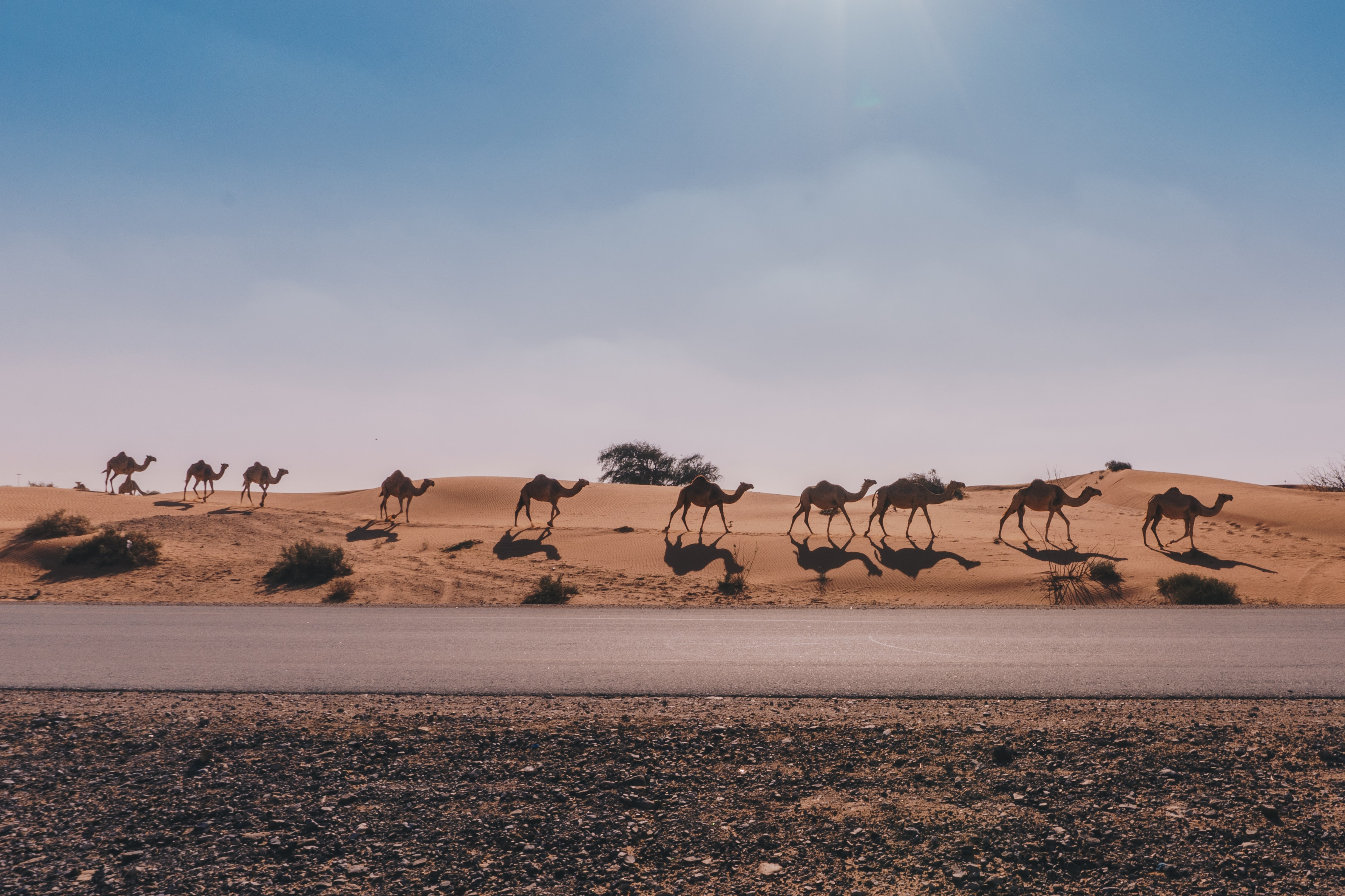 A herd of camel walking in a line along the side of the road in a desert area