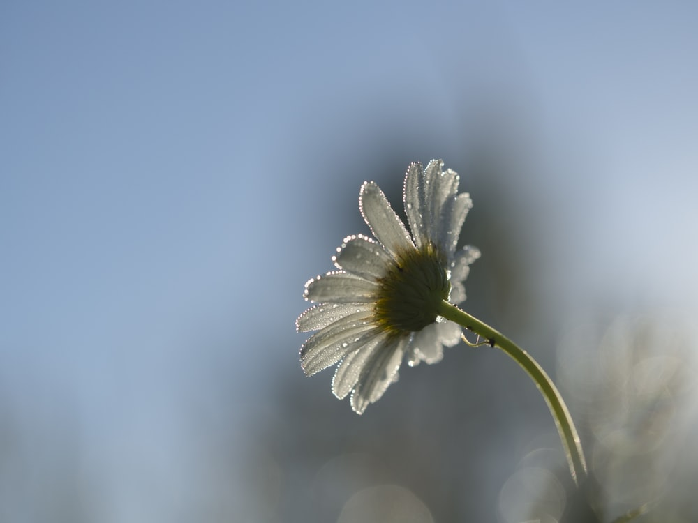 shallow focus of daisy during daytime