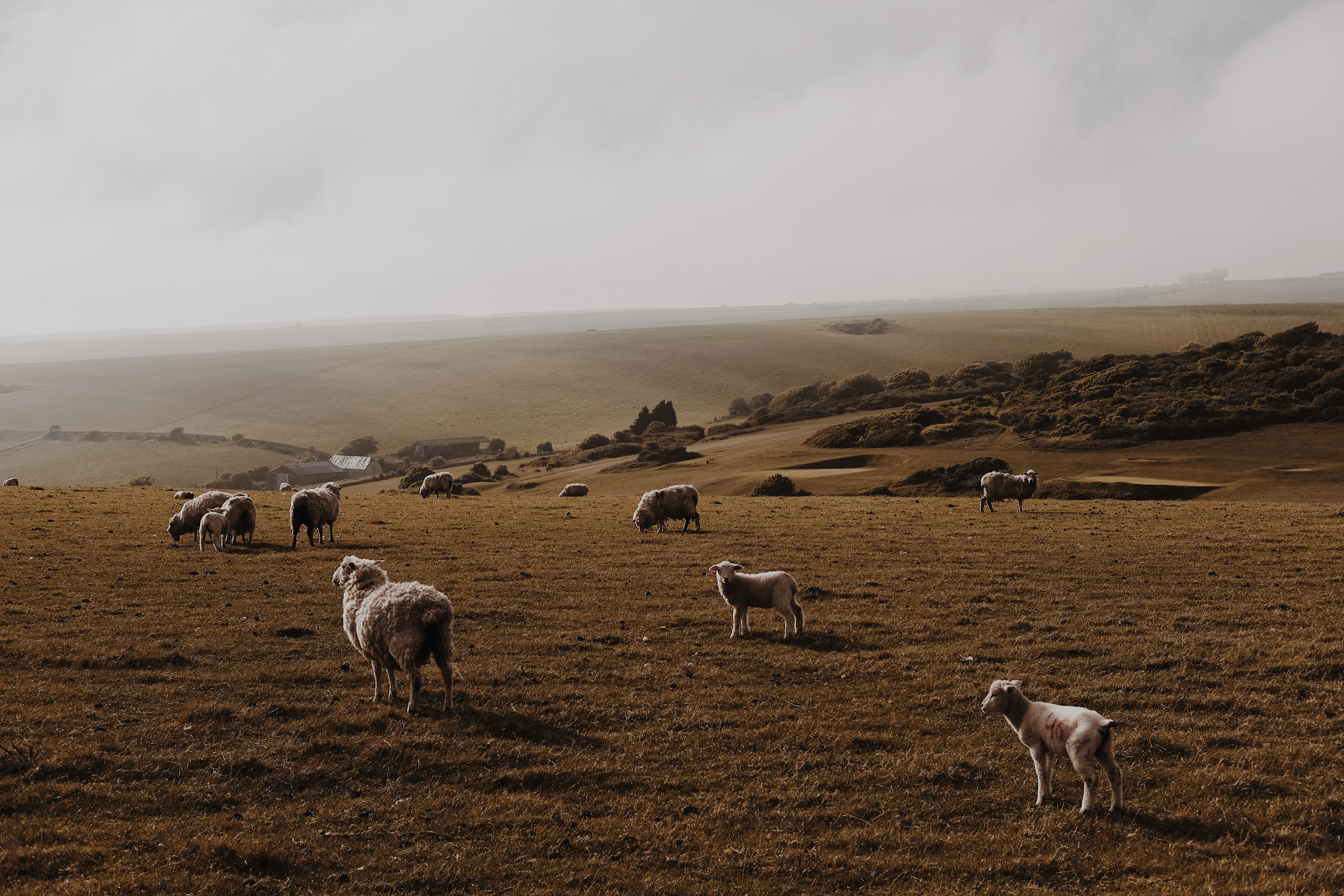 sheep and goat walking on green grass field