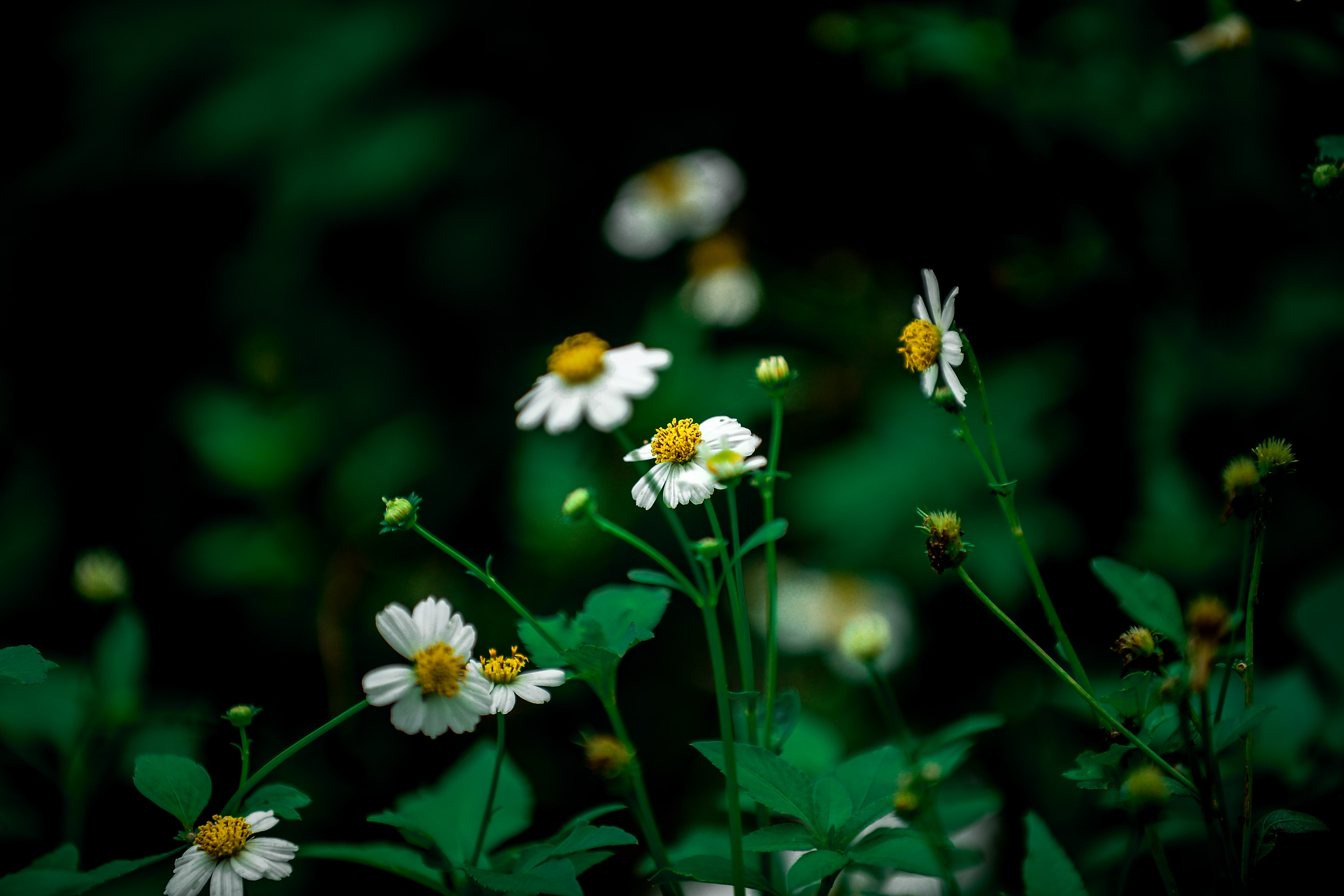 Wild daisies grow in a green field