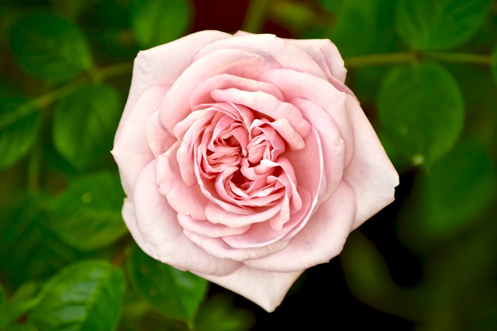 Closeup Photo Of Pink Rose