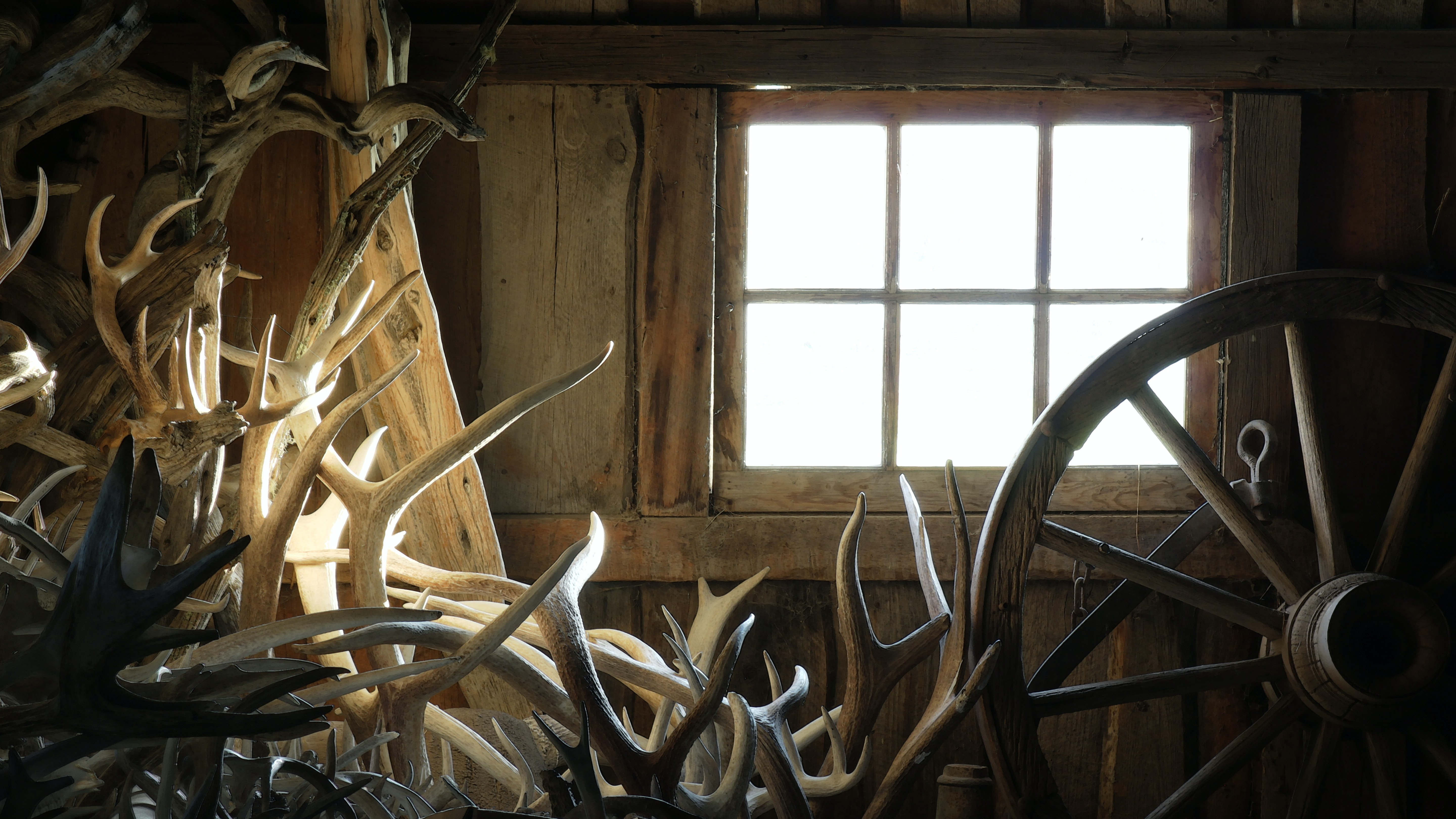 A collection of antlers and a wagon wheel inside a shed.