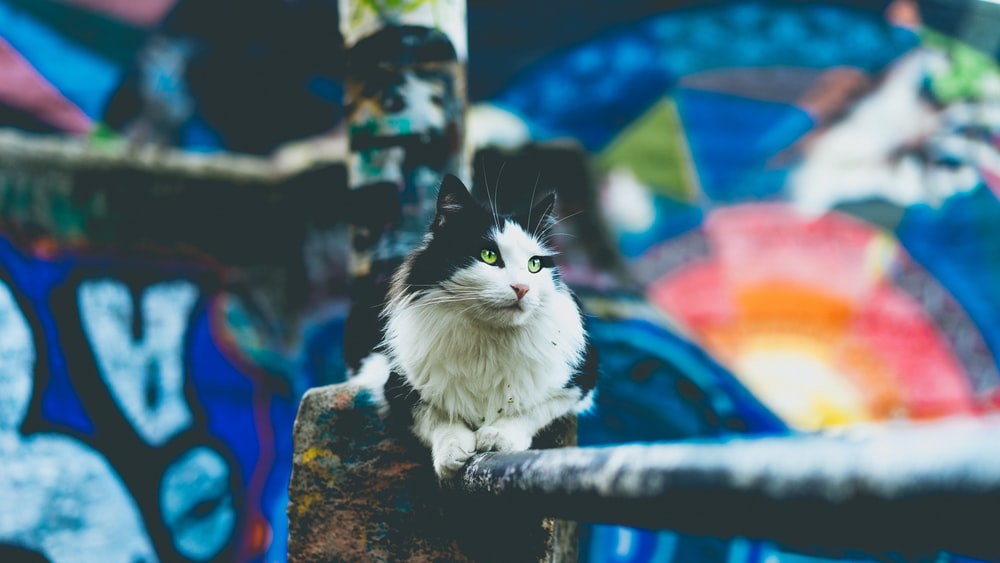 long-furred black and white cat prawn lying on black metal bar