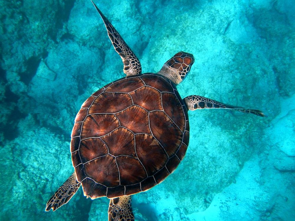 brown turtle swimming in ocean
