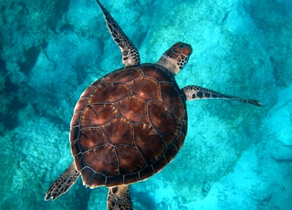 brown turtle swimming in ocean