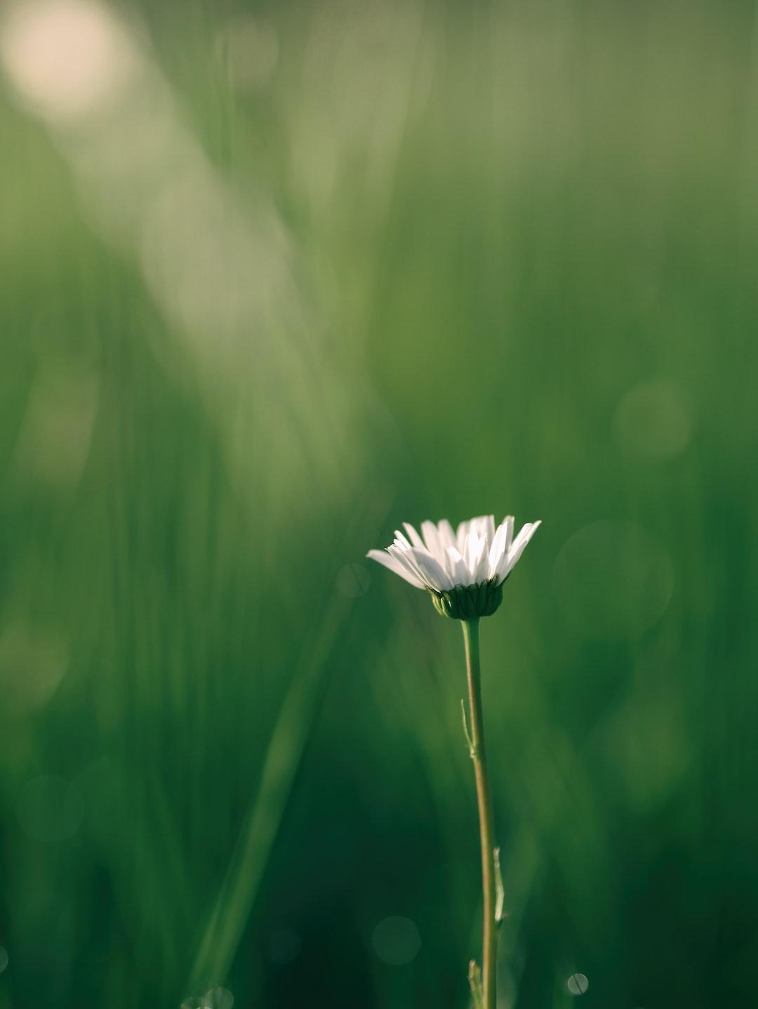 Sunshine on a white daisy