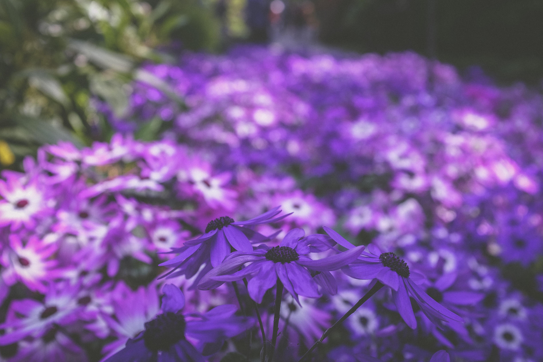 photo of purple petaled flowers in bloom