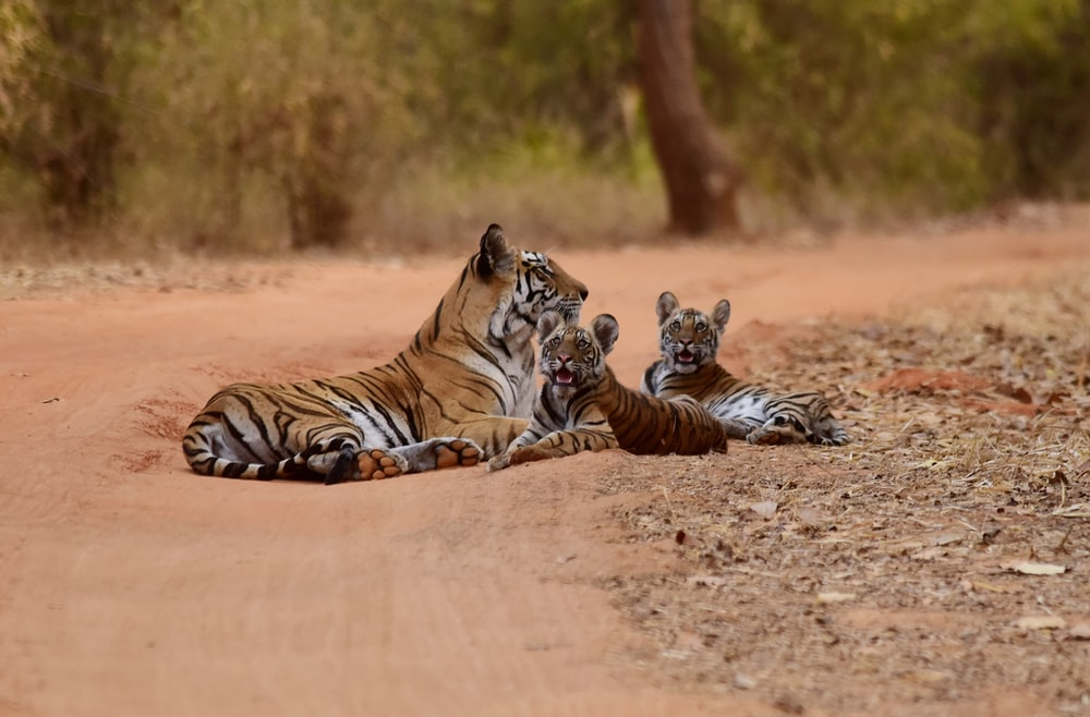 three tigers lying on brown sand ay daytime