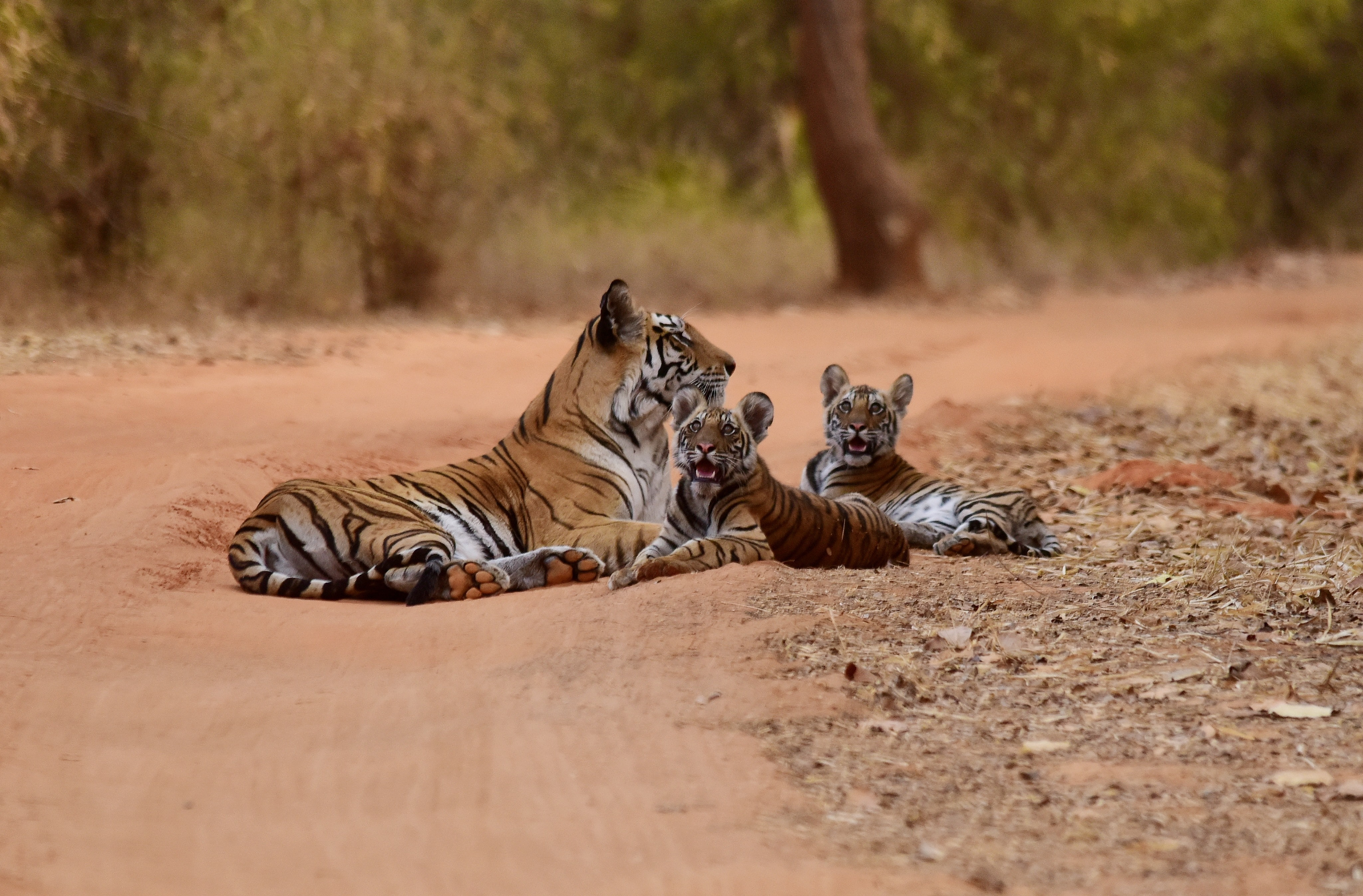 Tiger and cubs lying on dusty dirt road with trees and bush, Bandhavgarh National Park
