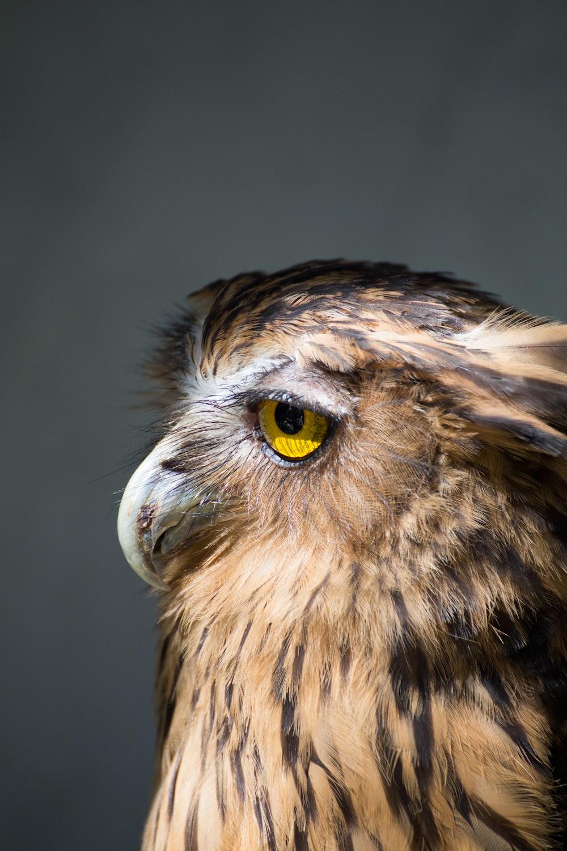 brown American bald eagle photo