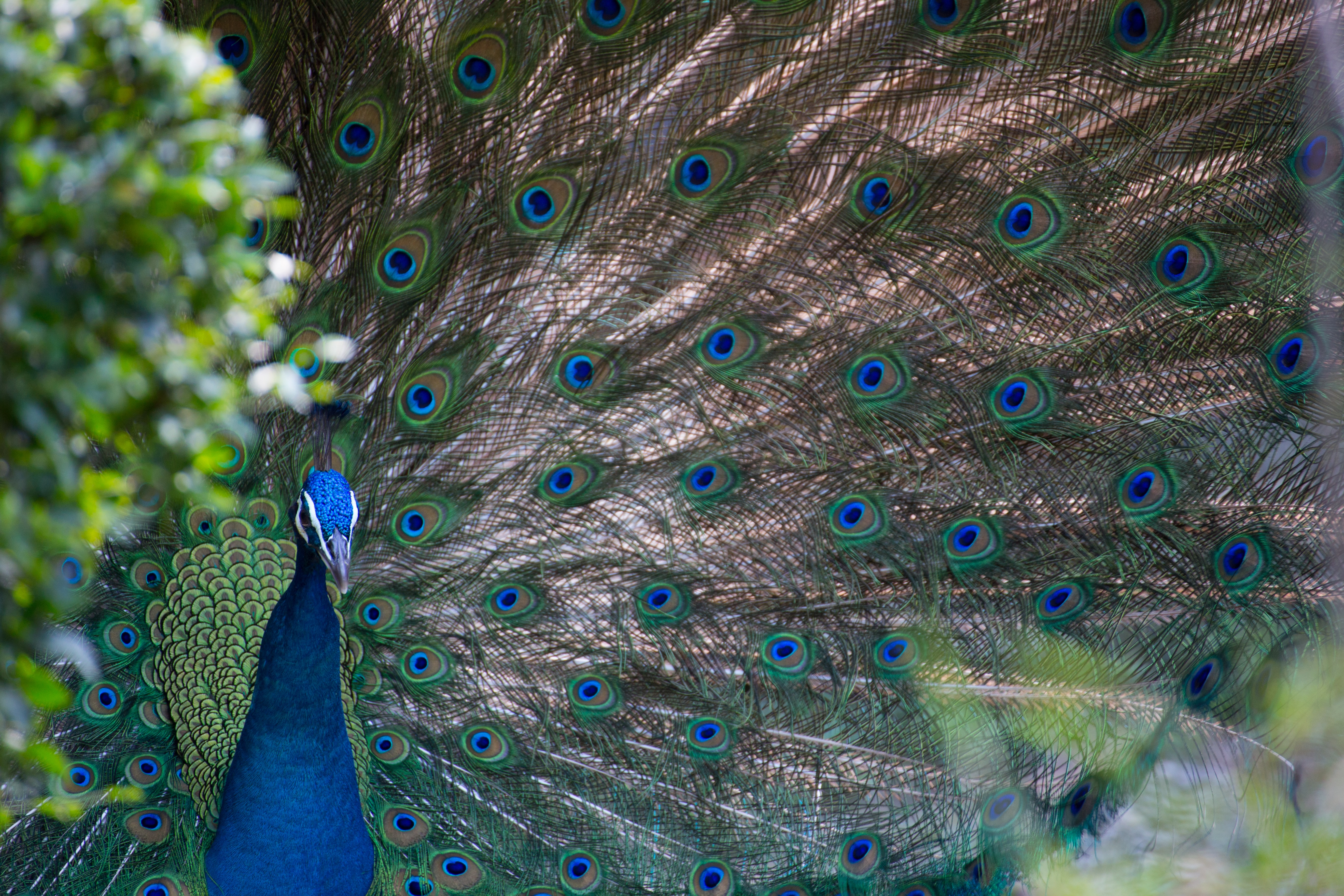 blue and gray peacock