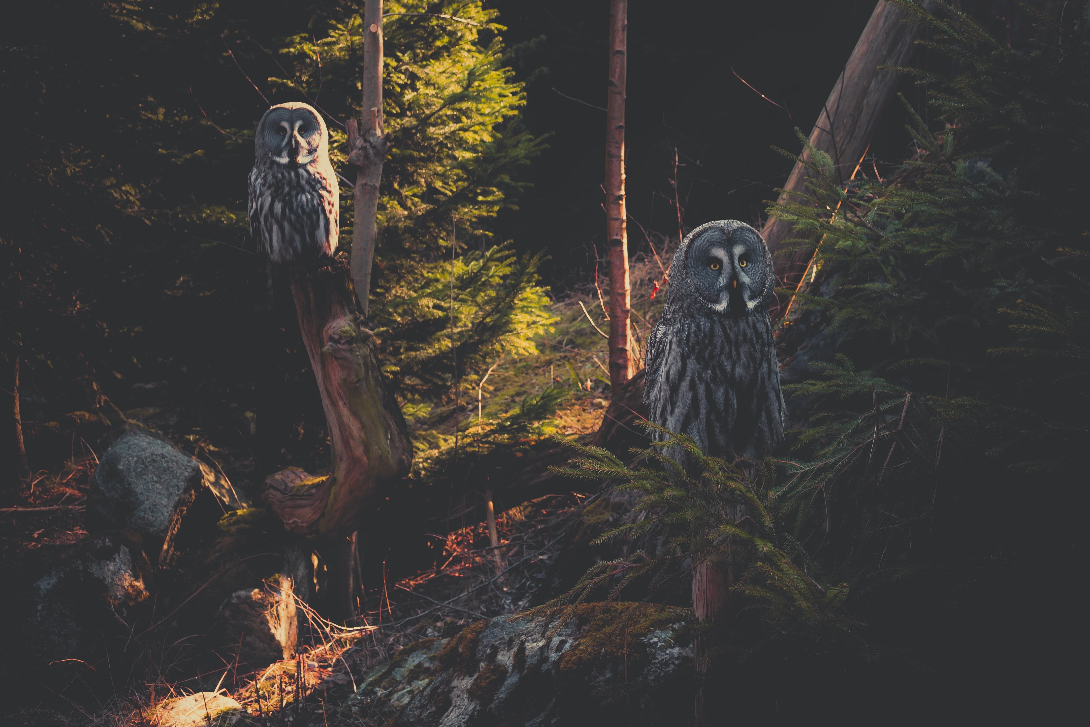 Two owl perched on gnarly tree trunks in a forest