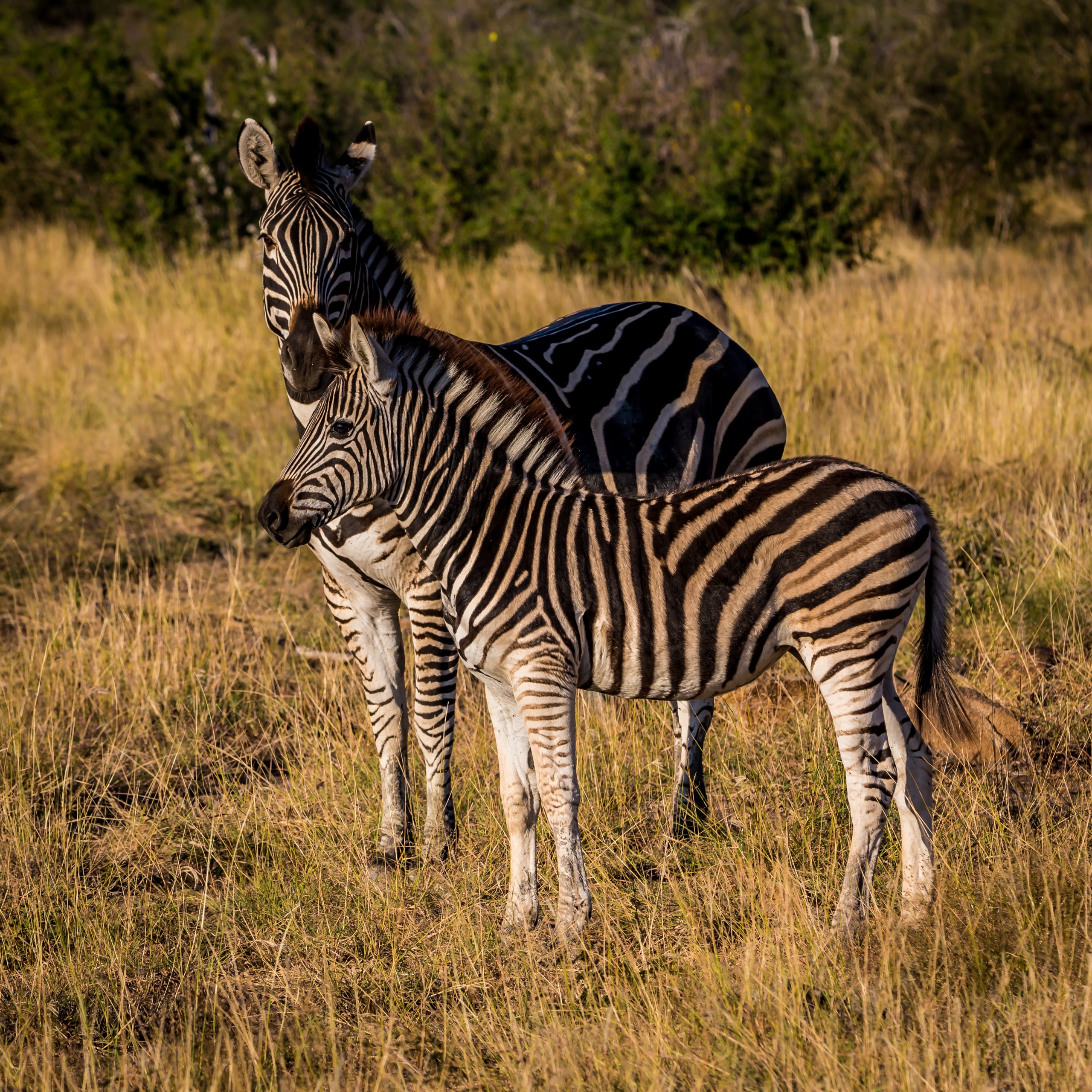 Two zebras in a dry grass field