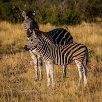 two zebras on grass