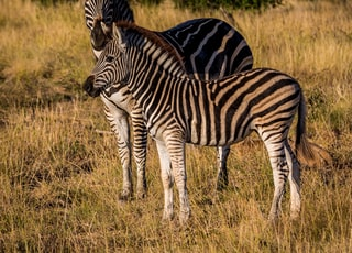 two zebras on grass