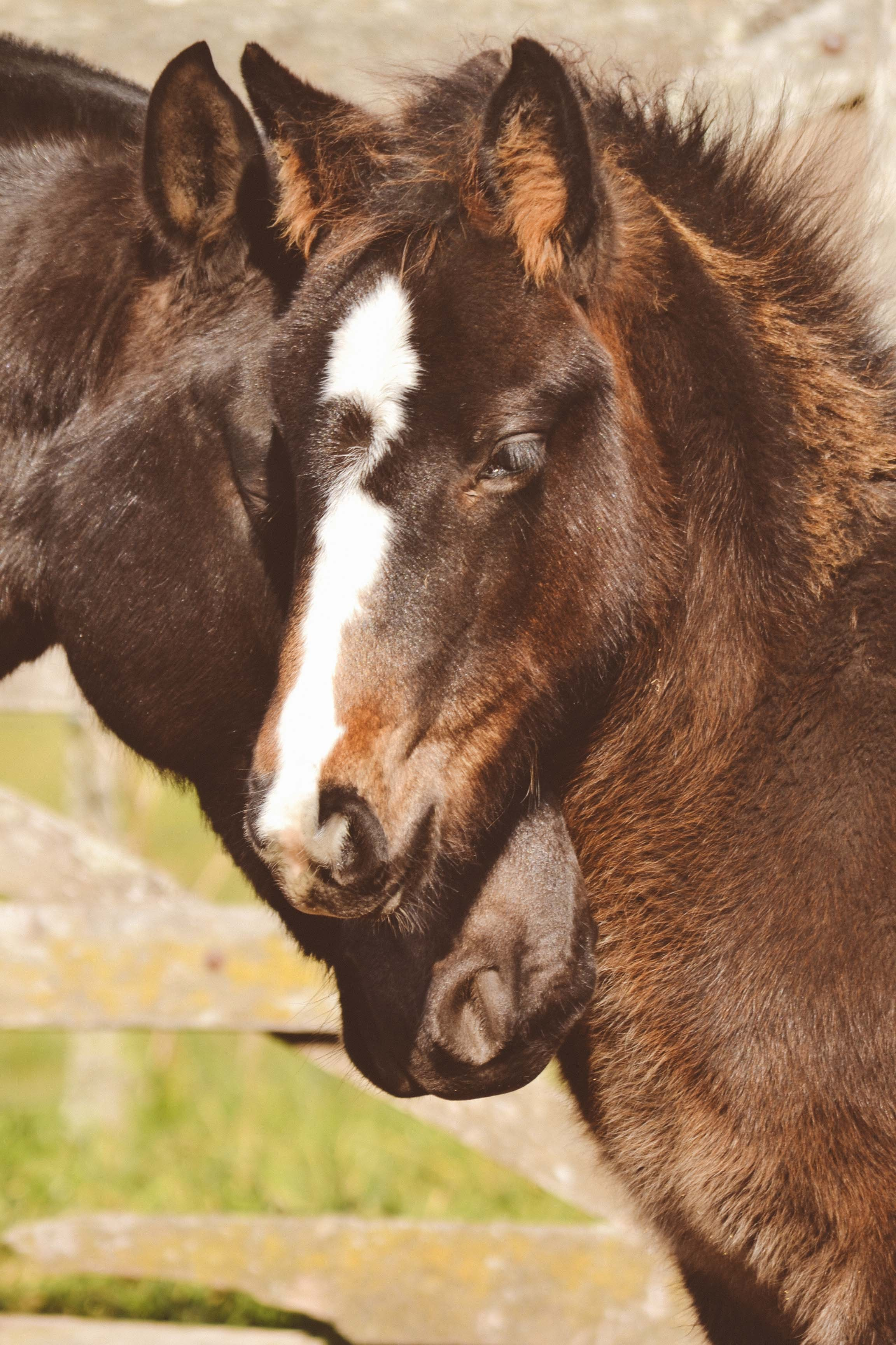 two brown horses' heads