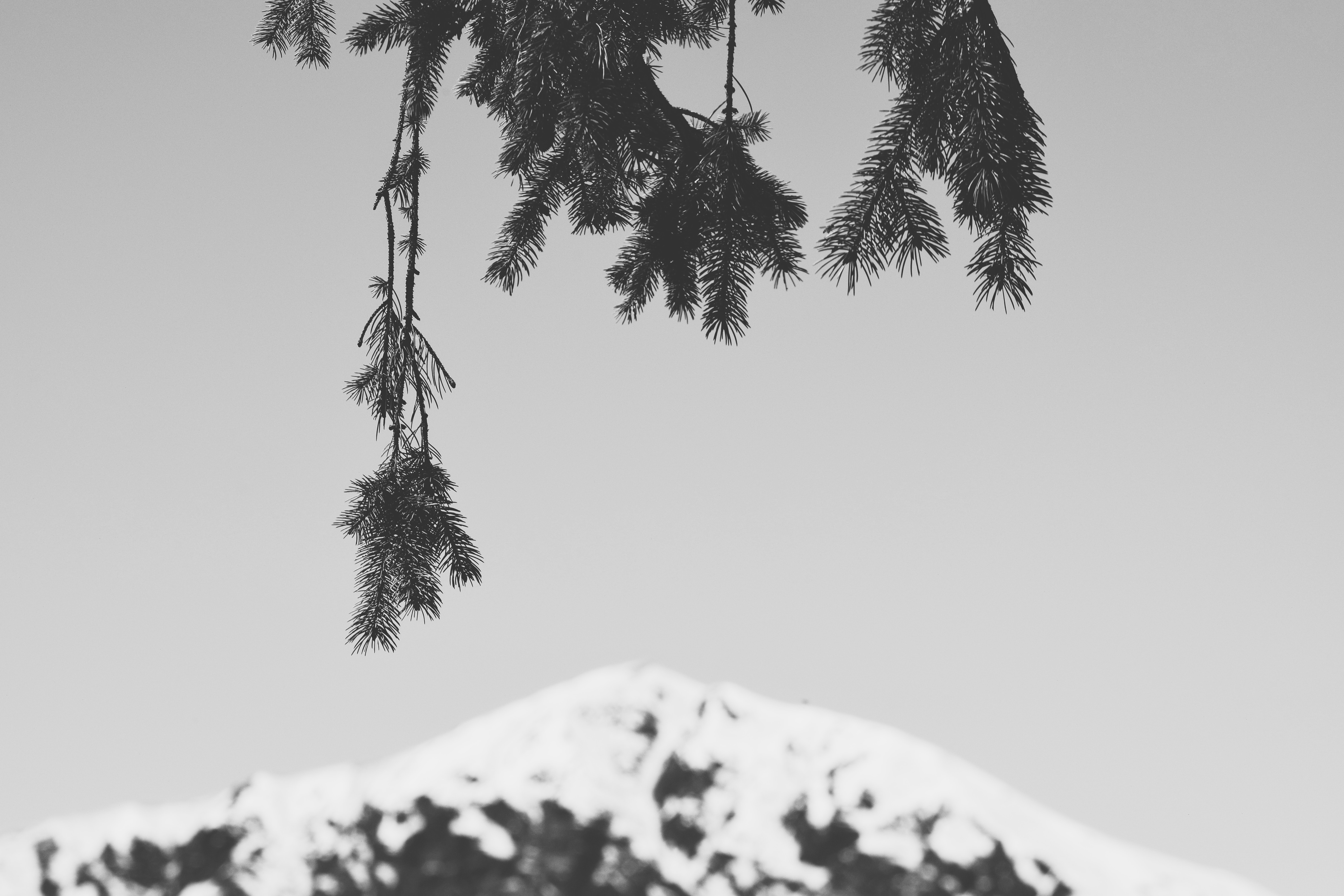 Pine needle branches dangle in front of a mountain with snow on top