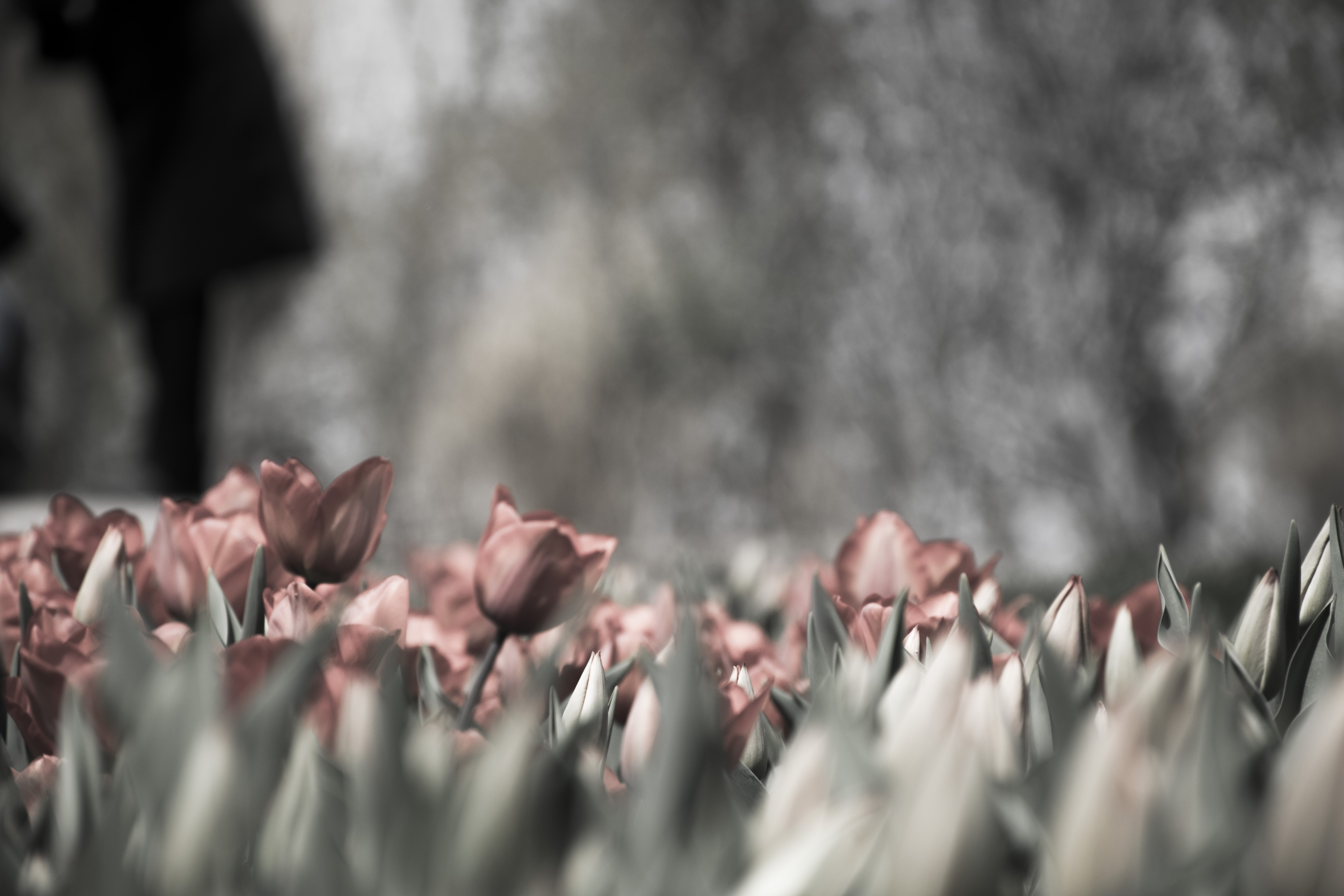 A desaturated shot of a patch of red tulips