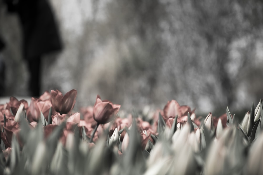 pink tulips grayscale photography
