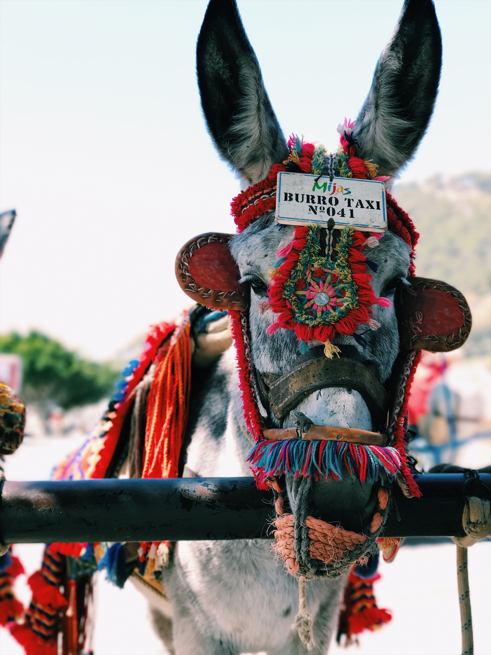 Donkey for transportation wearing ornate bridle and reins