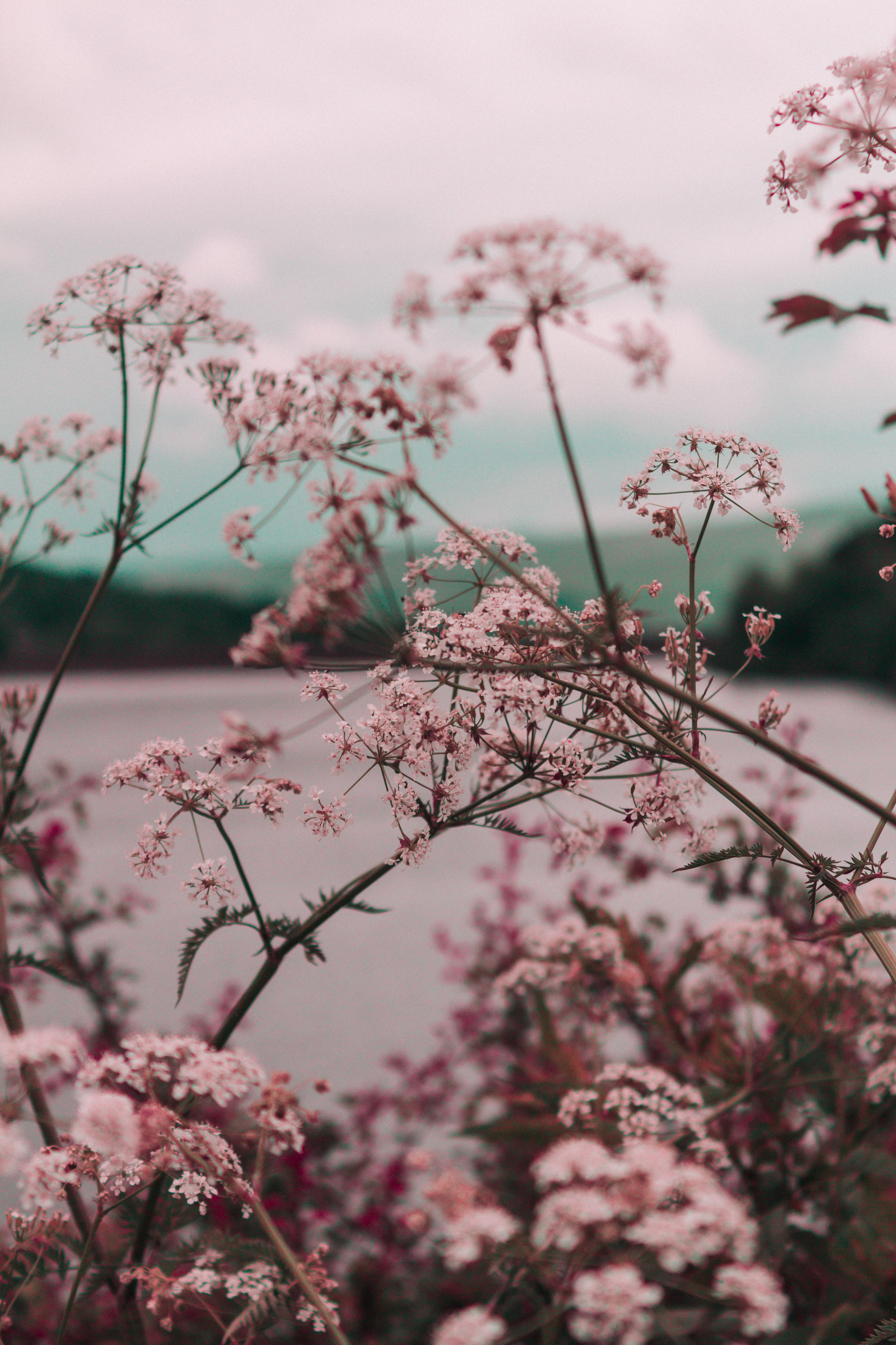 A canopy of light pink flowers on long branches over a lake