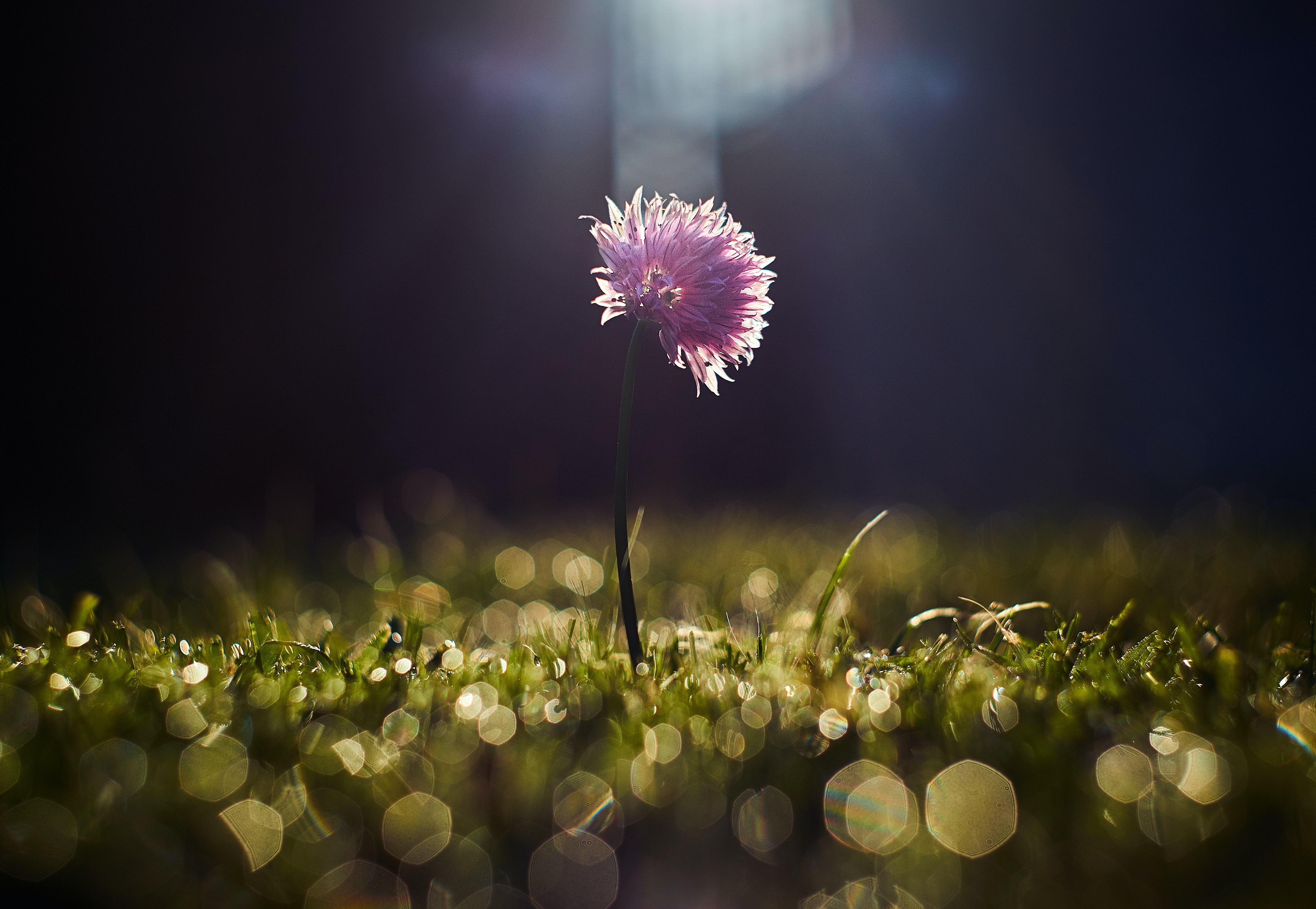 Sun shining on a lone pink flower on a green stem in a patch of grass