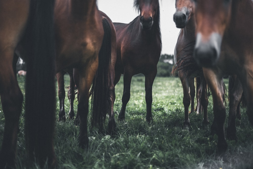 closeup photo of brown horses on green grass field