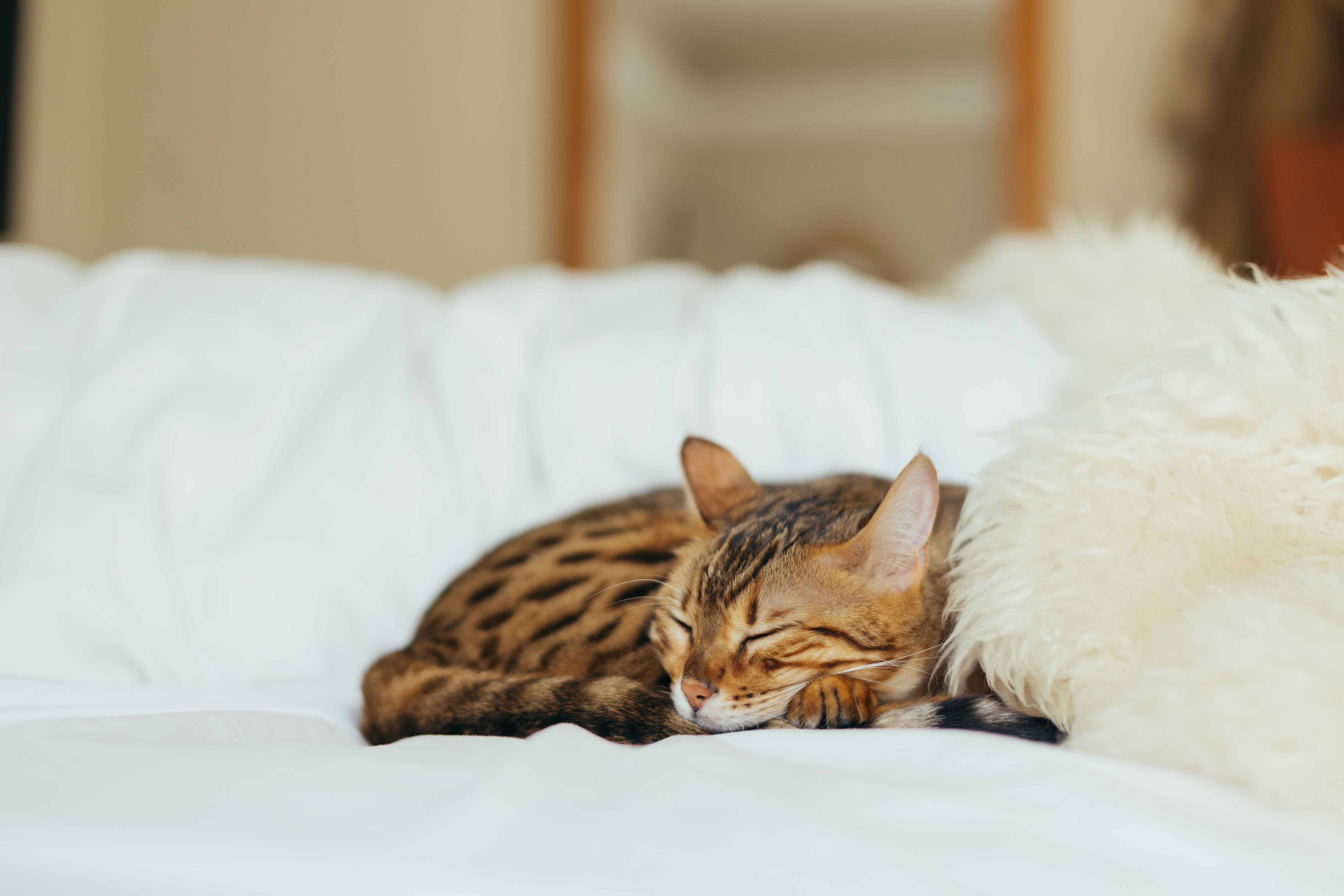 A cat with spotted ginger  fur sleeping peacefully on a comfortable bed