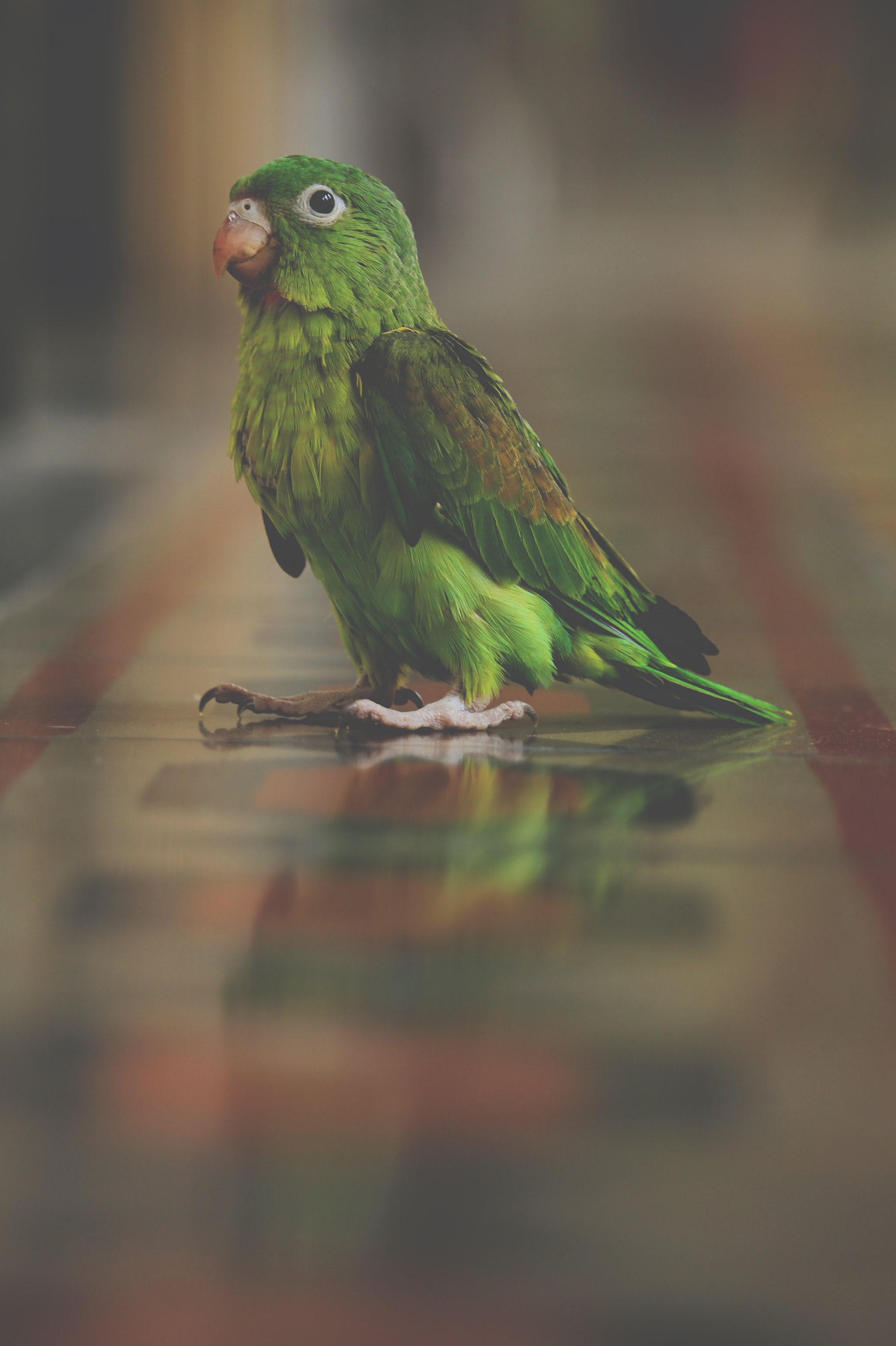 Green parrot walking on a reflective painted marble floor