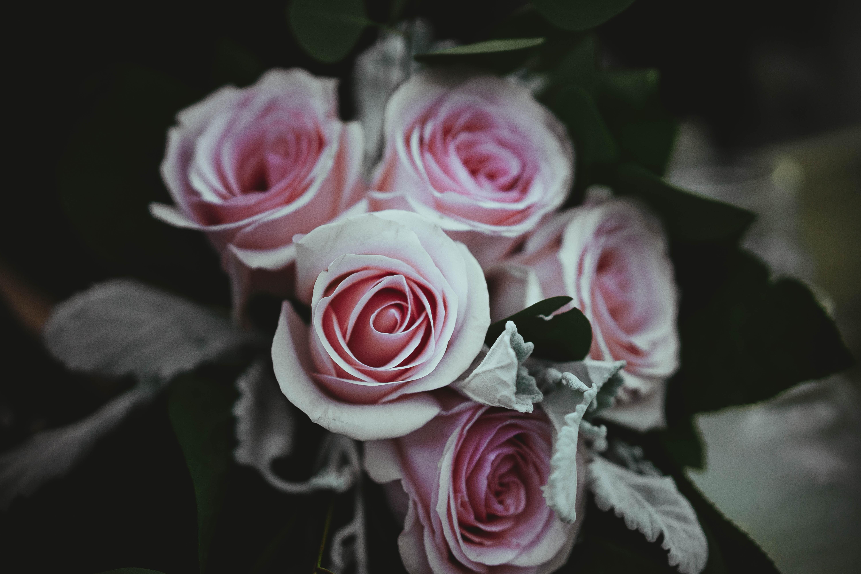 A pale shot of regular pink roses