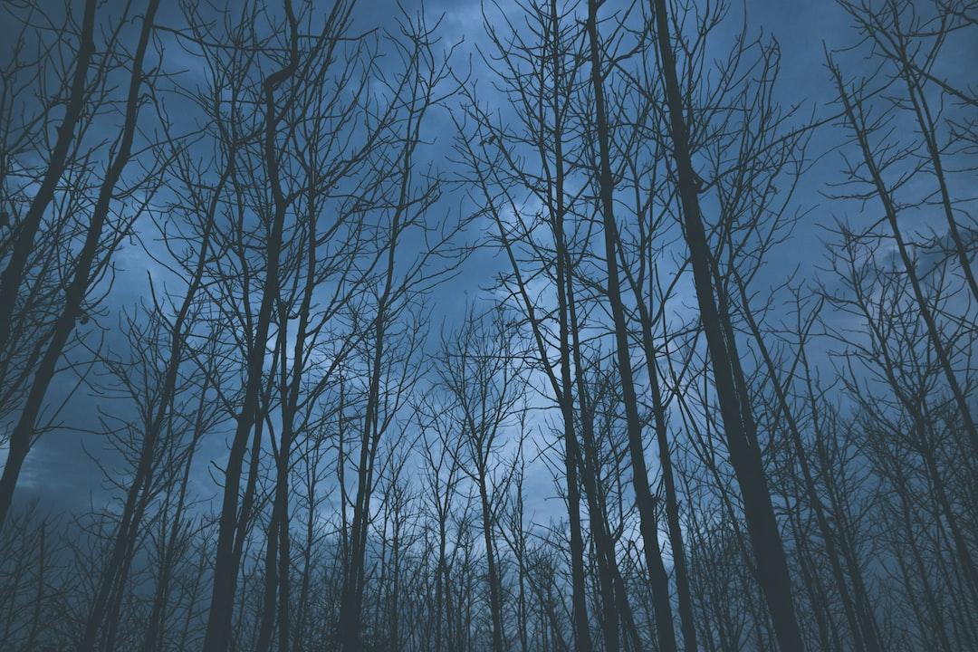 Bare trees at twilight