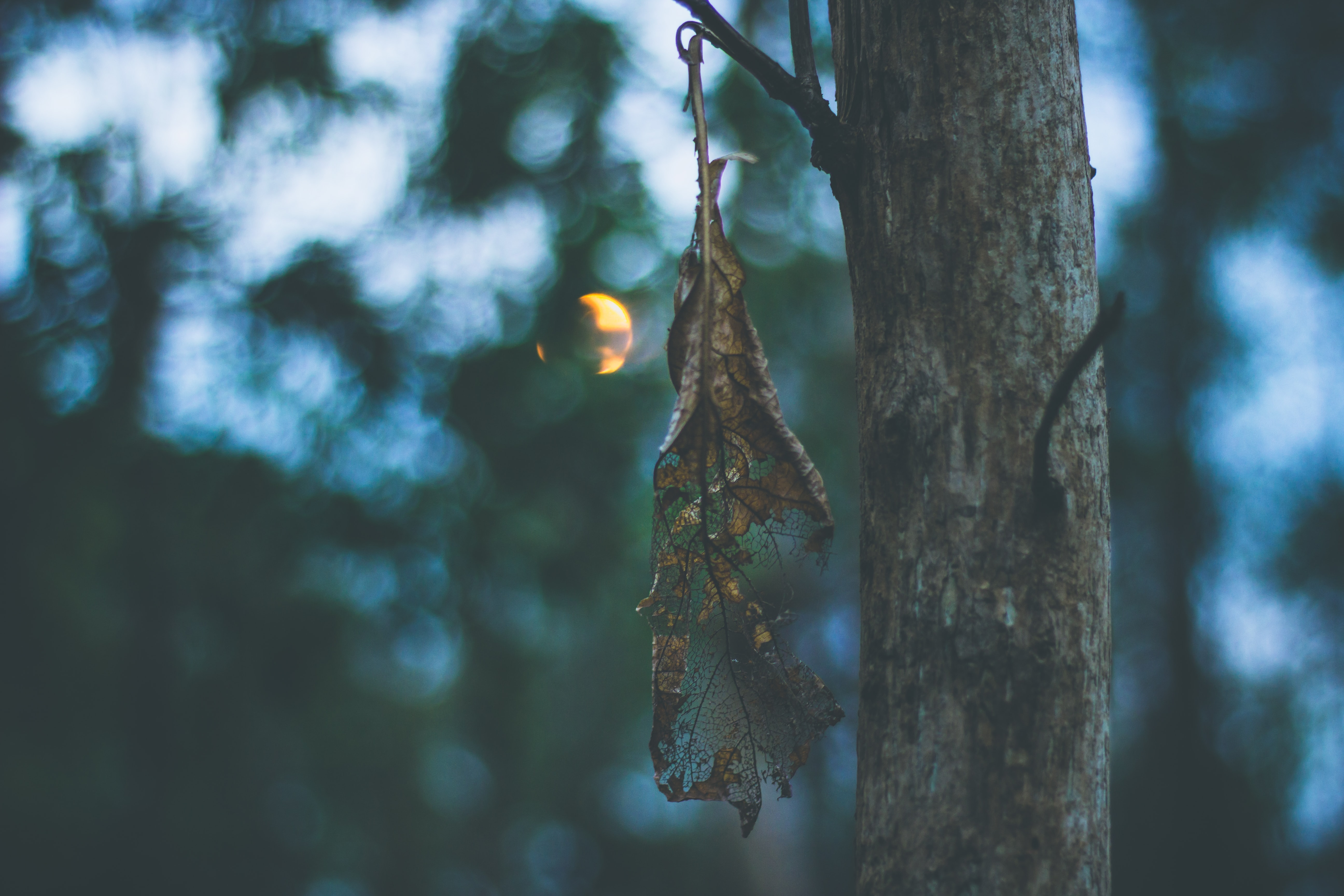 A wilting leaf hanging down from a tree branch during sunset
