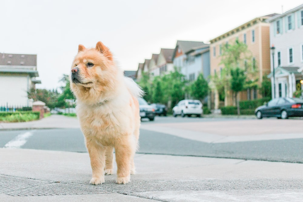 adult tan chow chow on pavement