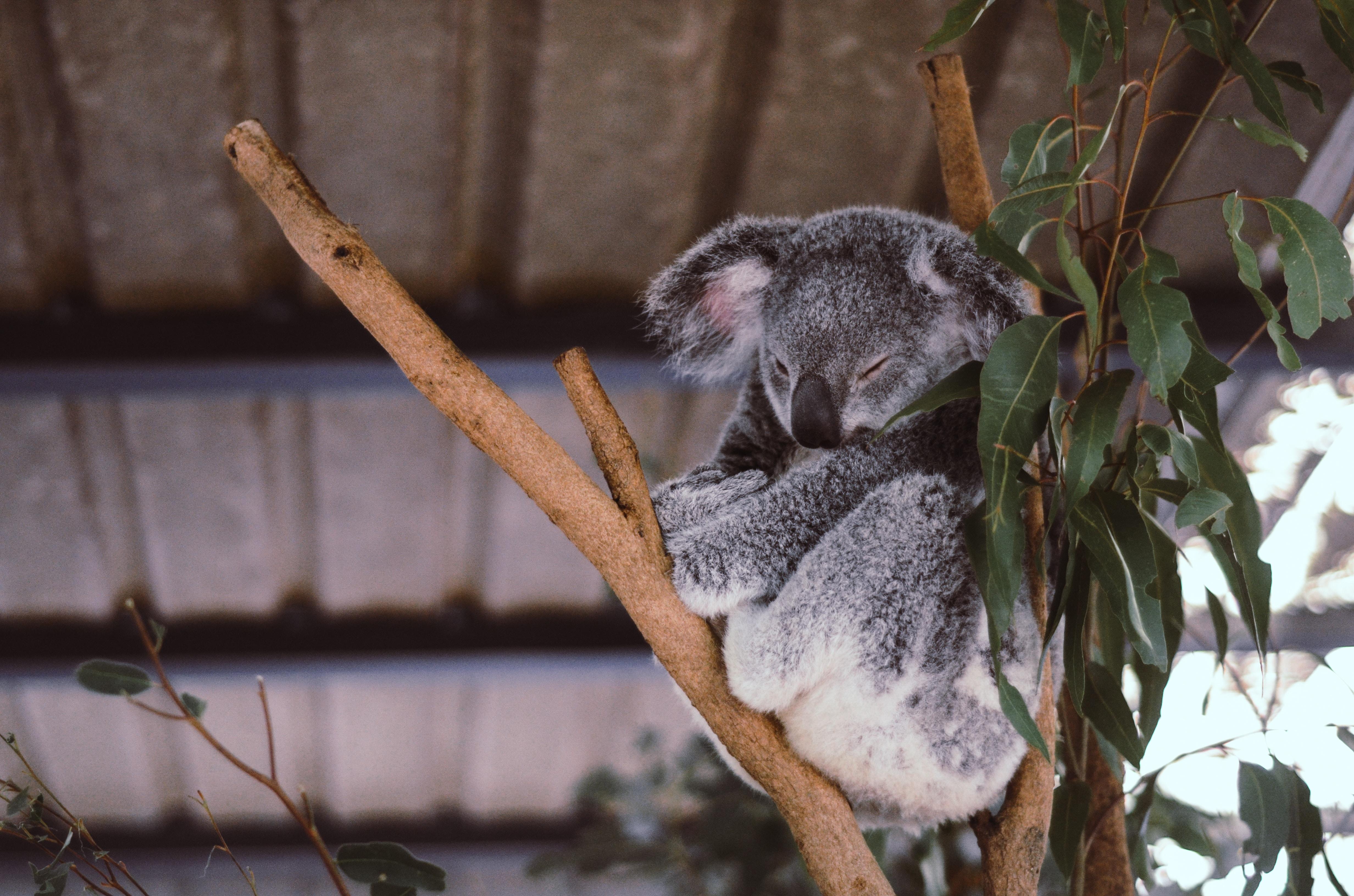 Koala bear sleeping in eucalyptus tree branch in Lone Pine Koala Sanctuary