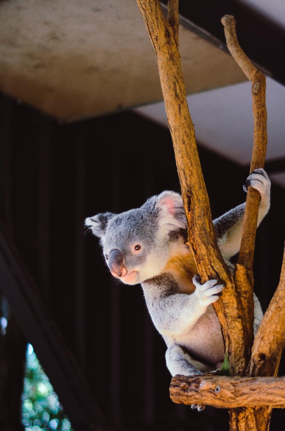 koala hanging on branch