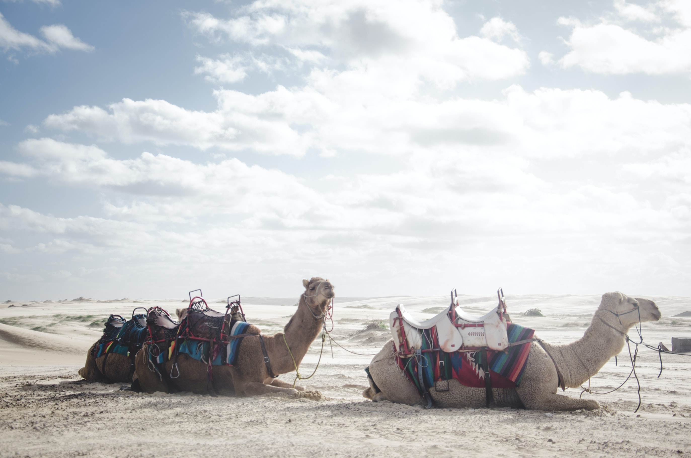 photo of two camels lying on sand