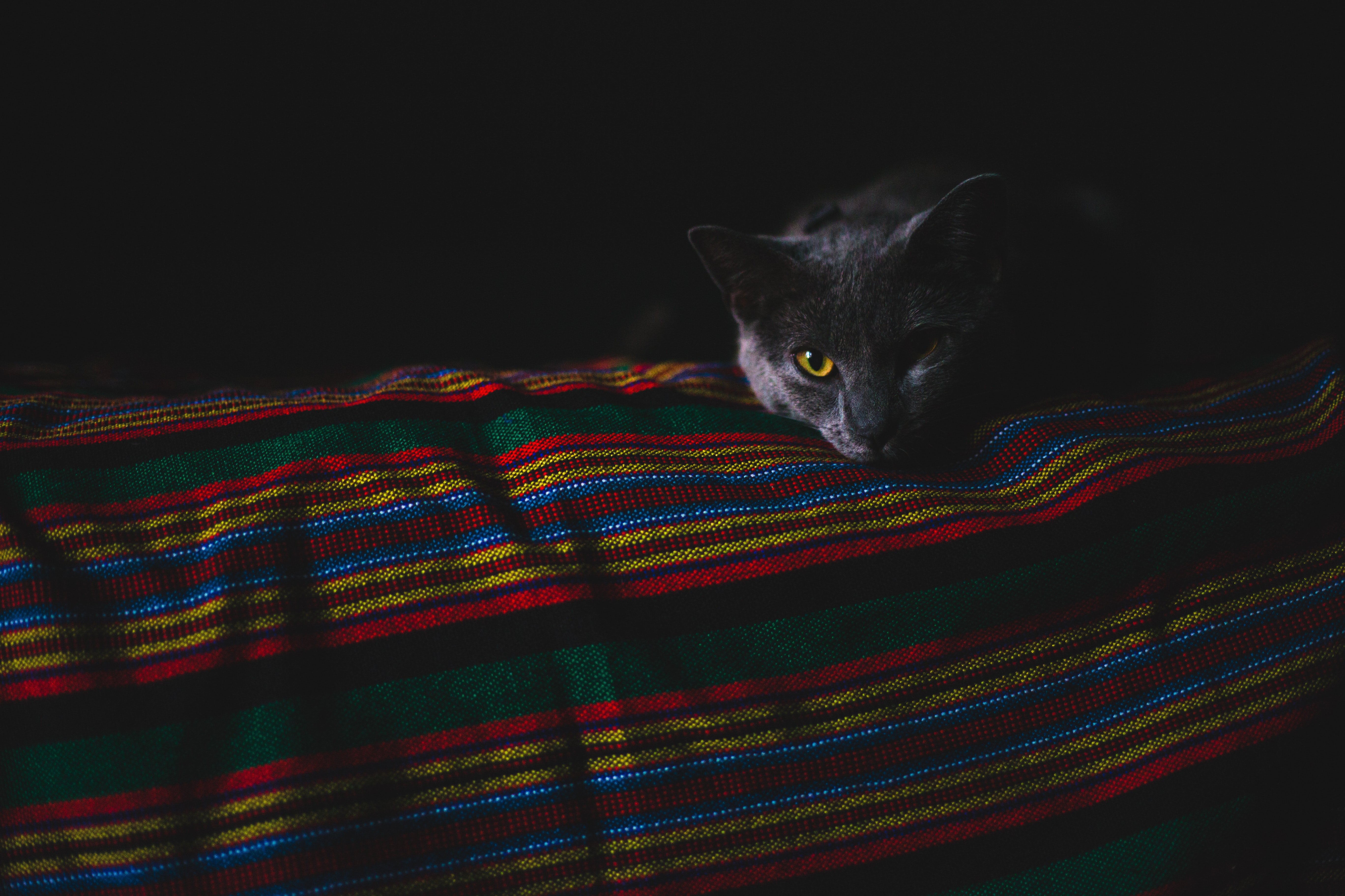A blue Russian cat lying on a colorful blanket