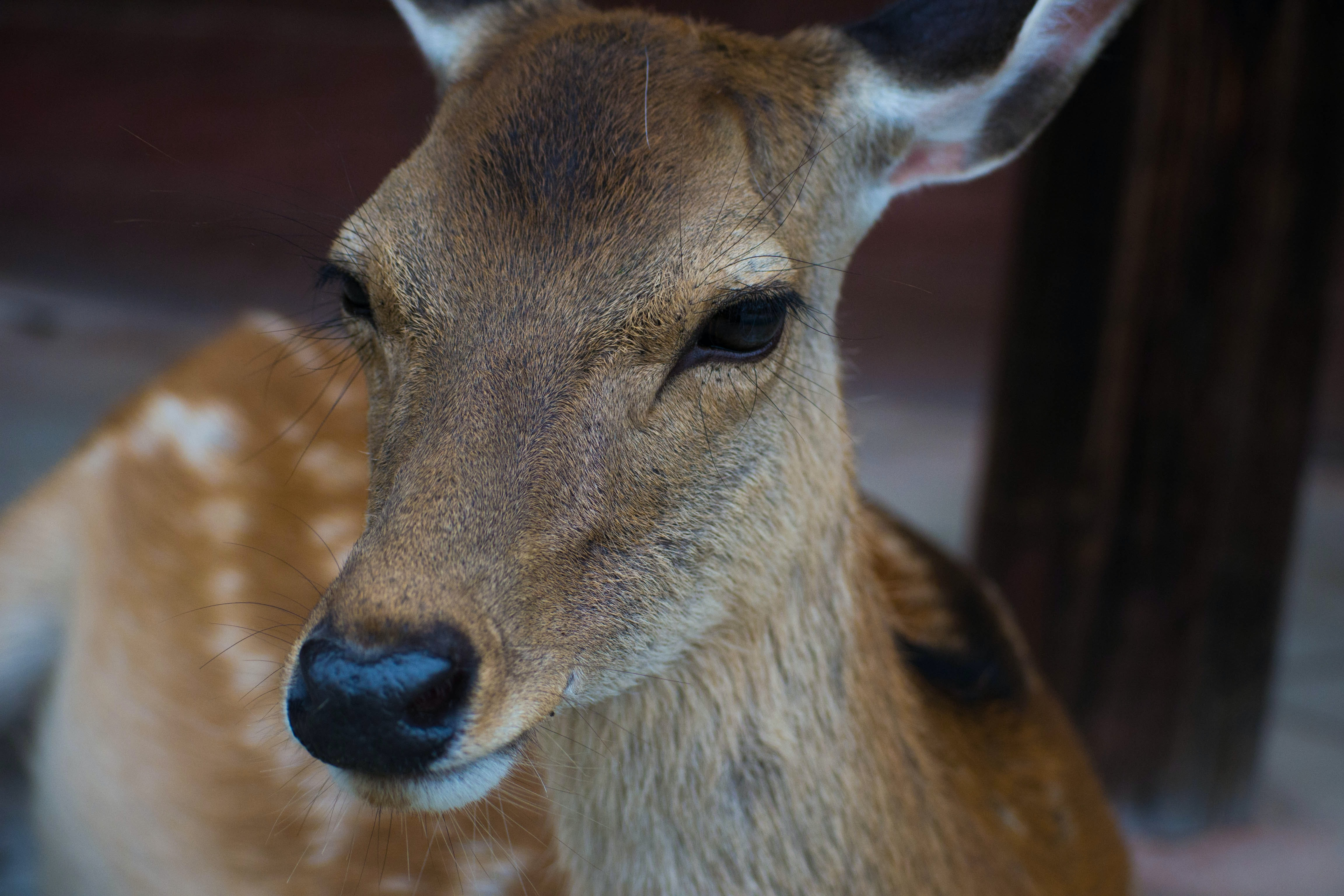close-up photography of brown deer