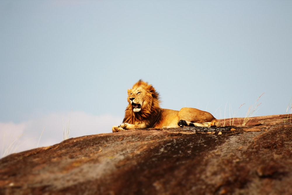 lion on ground during daytime
