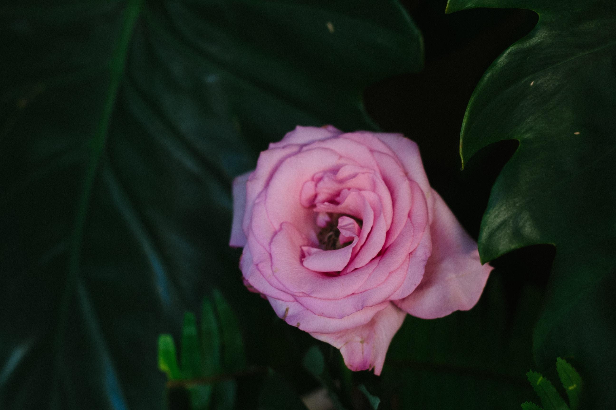 pink multi-petaled flower