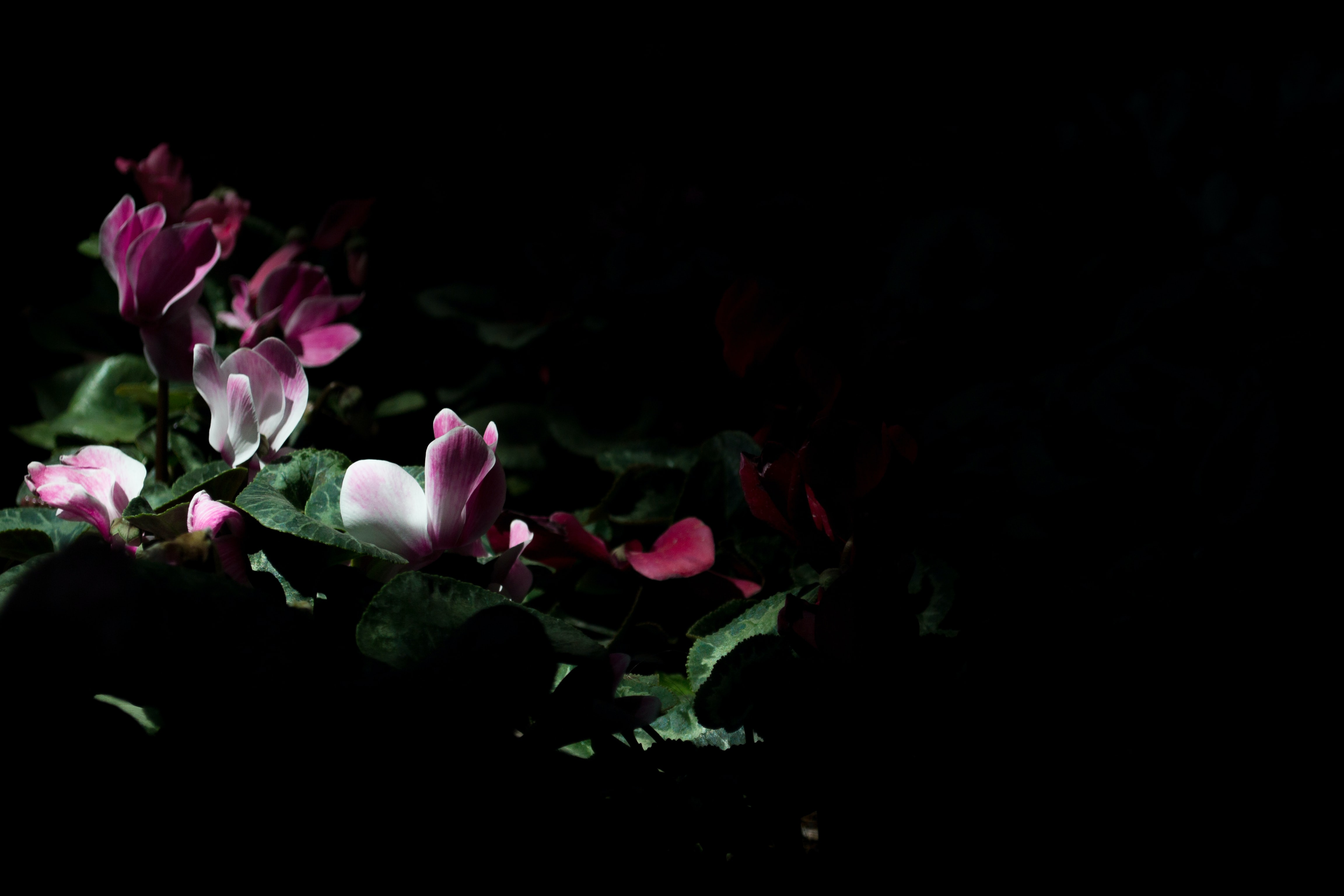 Delicate pink flowers surrounded by darkness