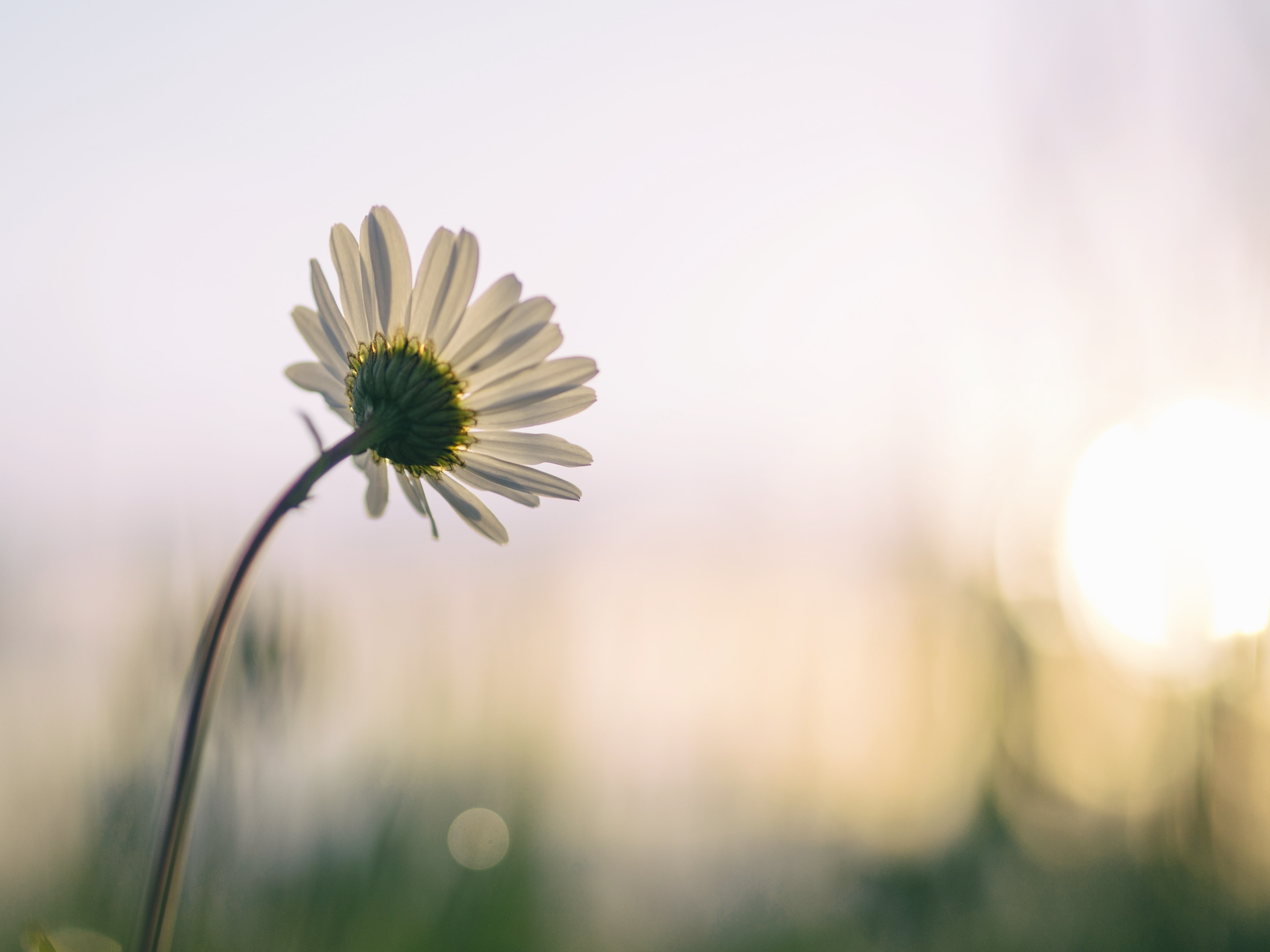 A low-angle shot of a white daisy leaning towards the sun