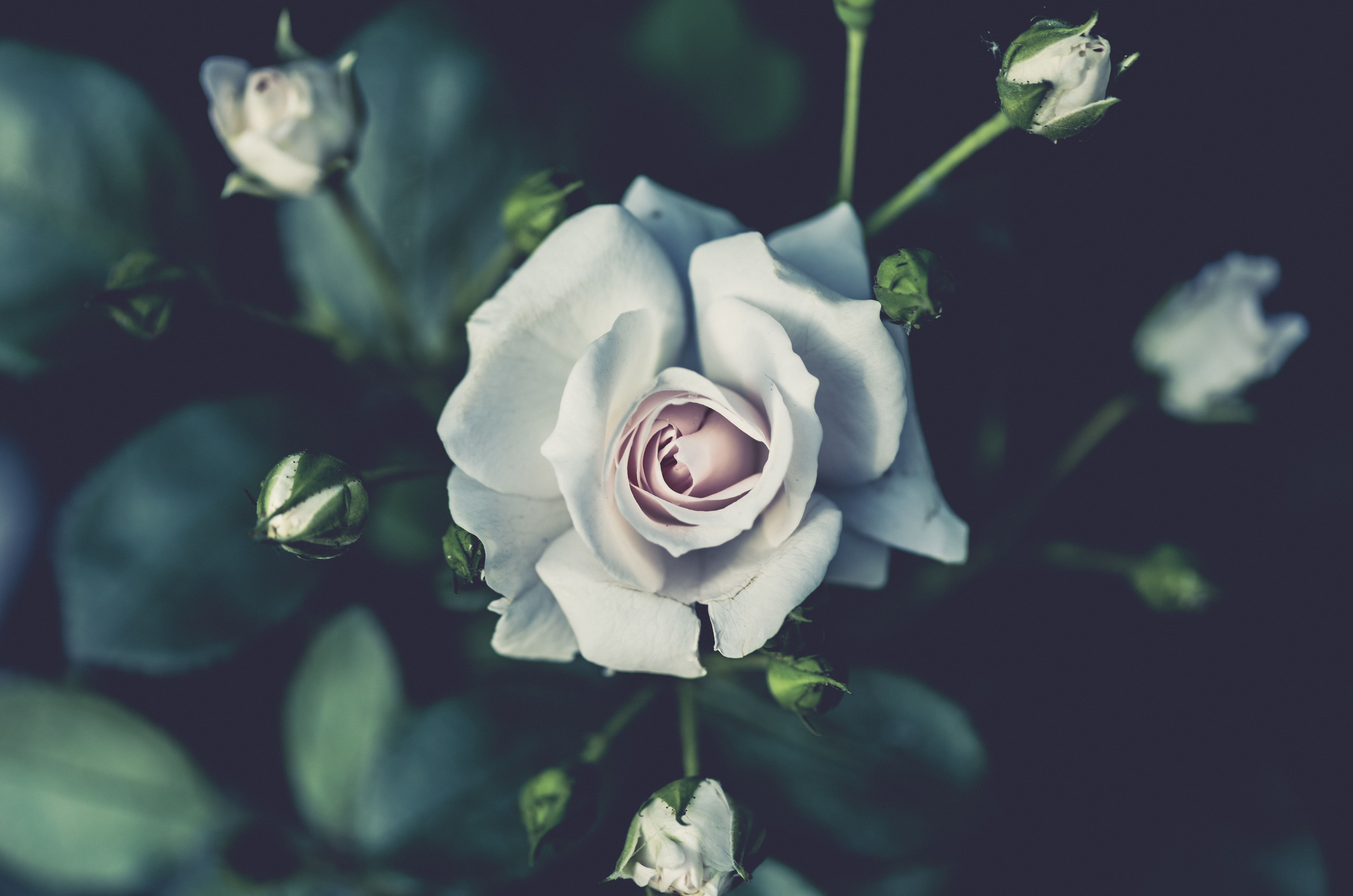 A blooming white rose surrounded by rose buds